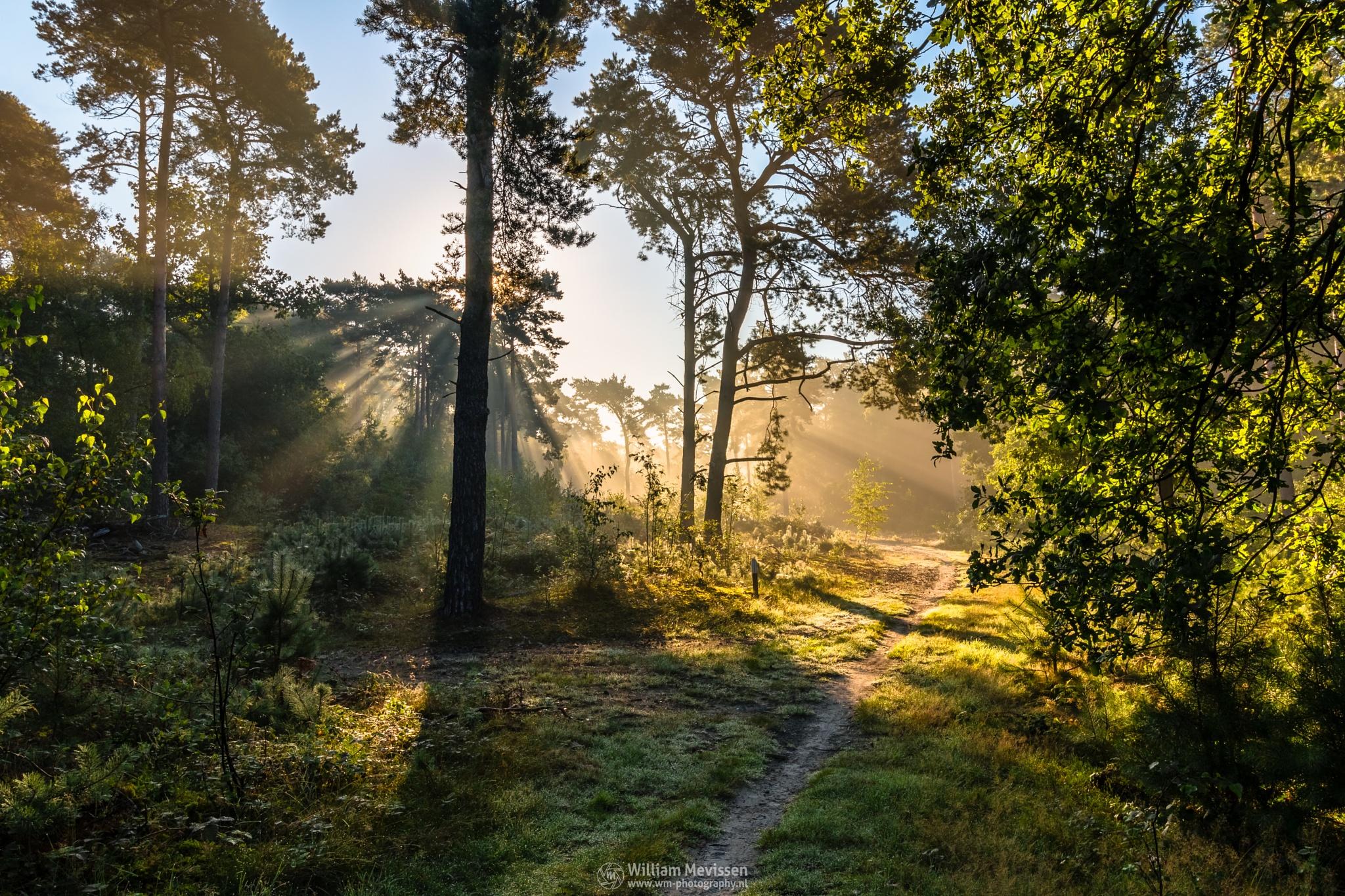 Forest Light by William Mevissen
