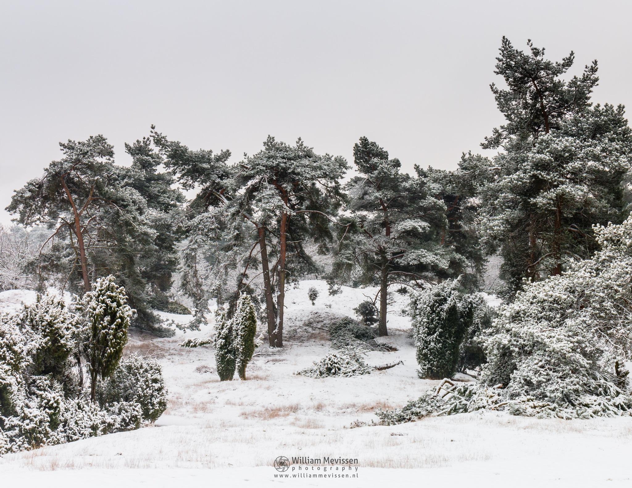 Bunch Of Pine Tree by William Mevissen