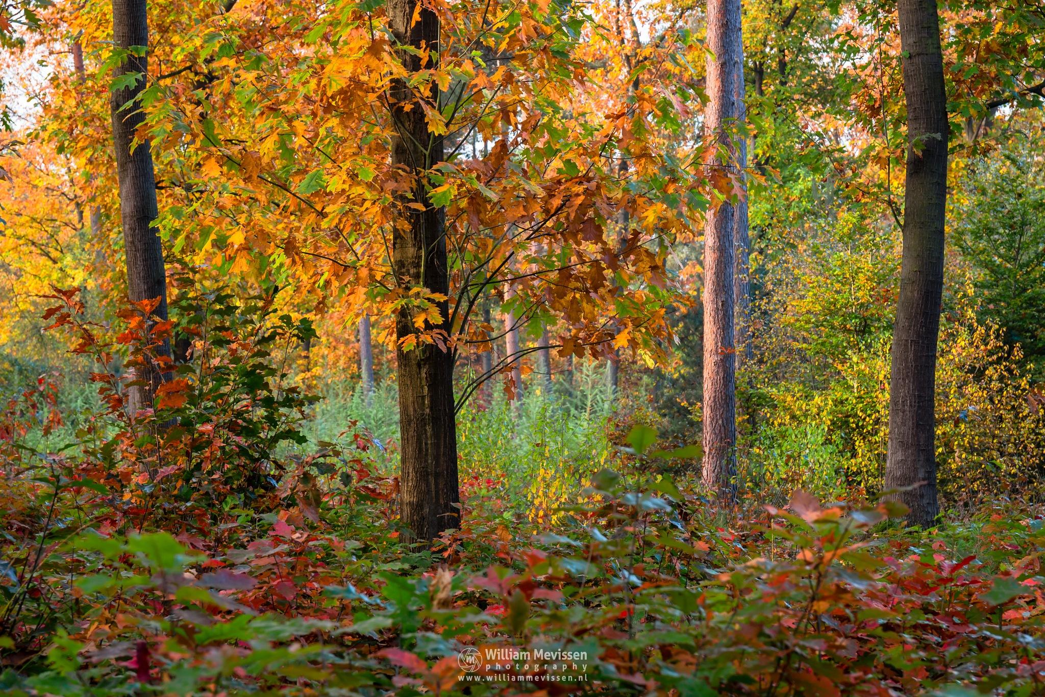 Photo in Nature #geijsteren #venray #oostrum #landgoed geijsteren #limburg #noord-limburg #forest #woods #geysteren #autumn #trees #mood #sunrise