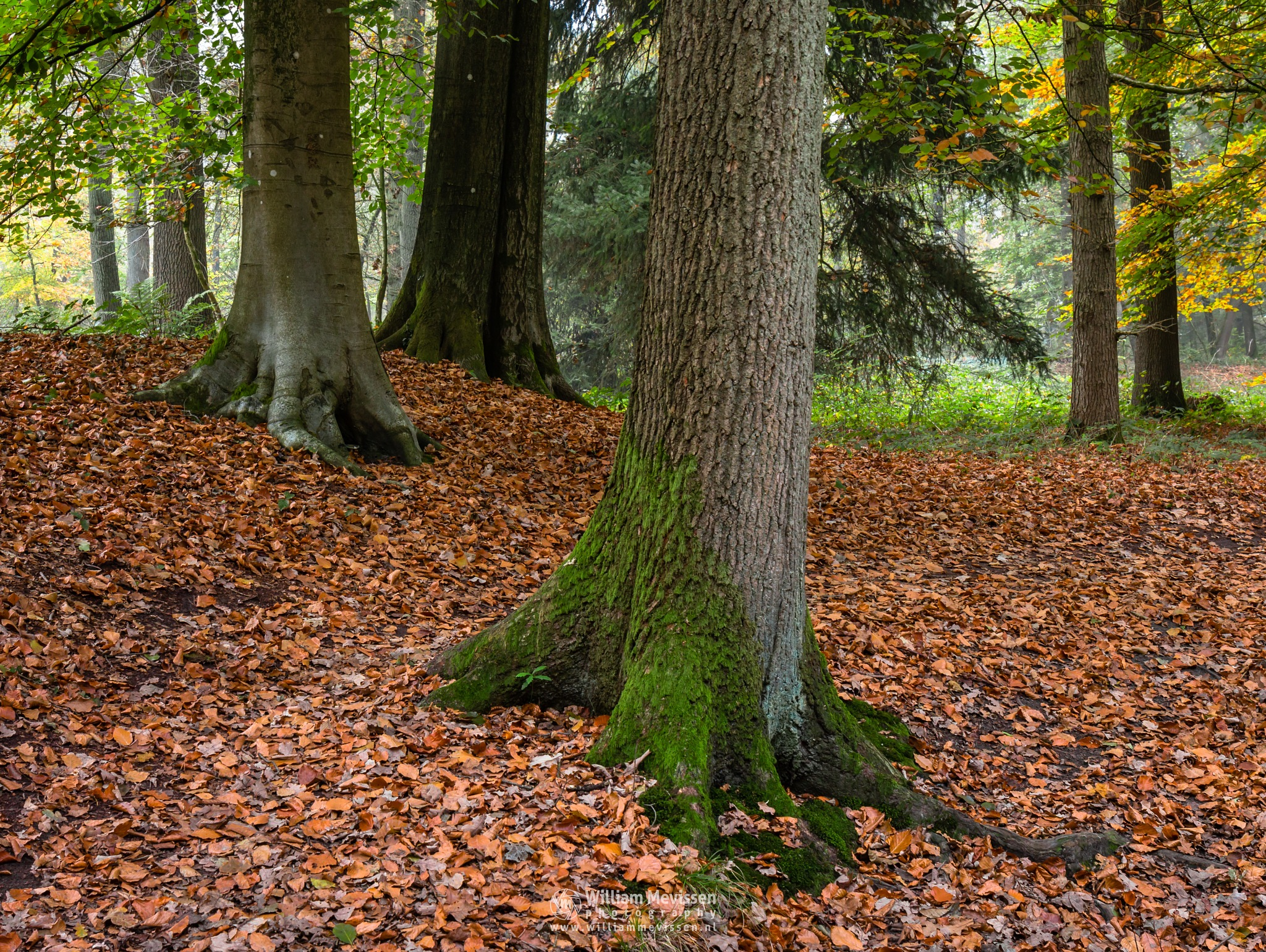 Autumn Tree Trunks by William Mevissen
