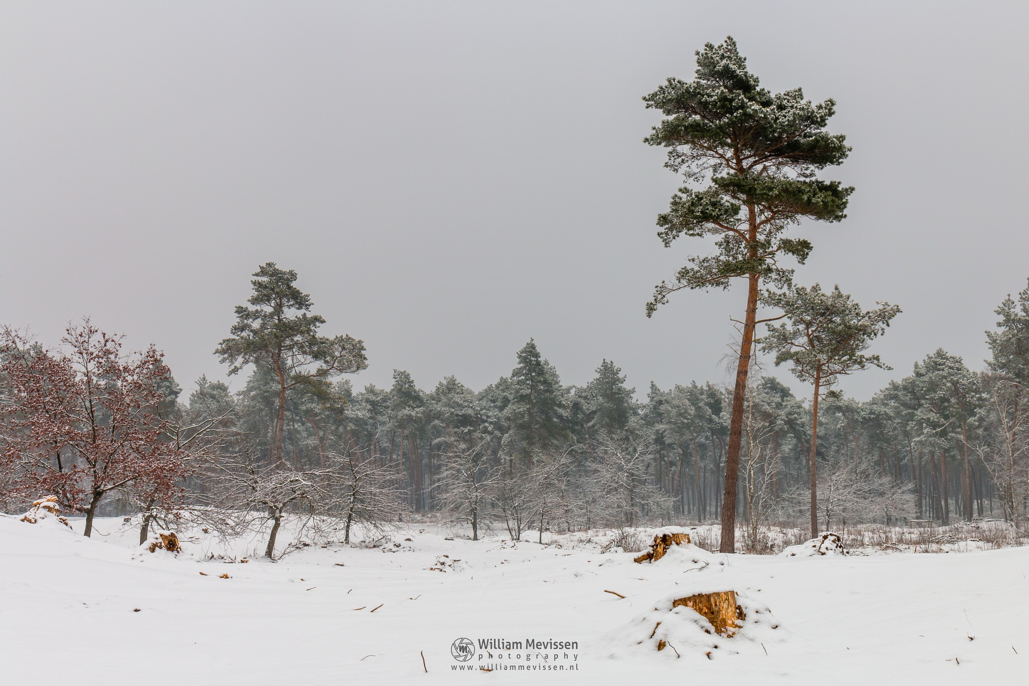 Pine Trees In The Snow by William Mevissen