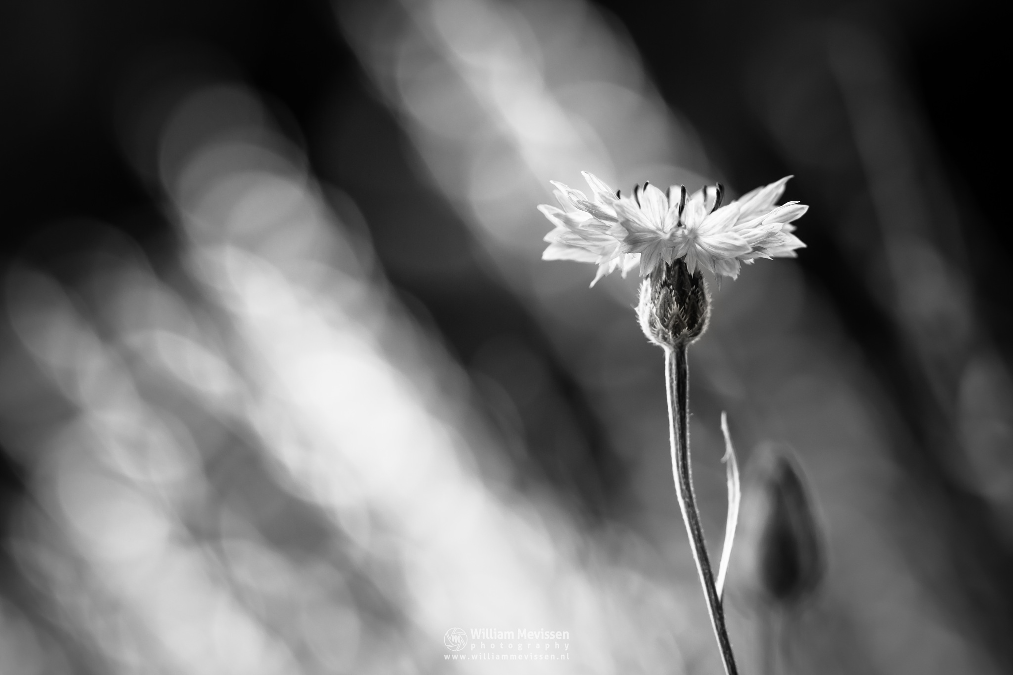 Cornflower Black White by William Mevissen