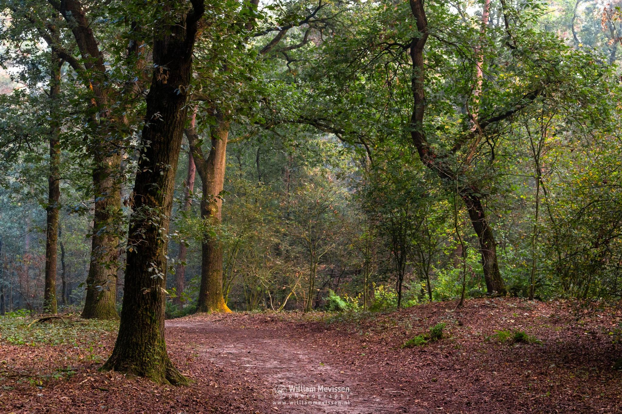 Photo in Nature #trees #pine #pine forest #forest #limburg #noord-limburg #venray #vlakwater #nature #green #city forest #light #mood #path #autumn