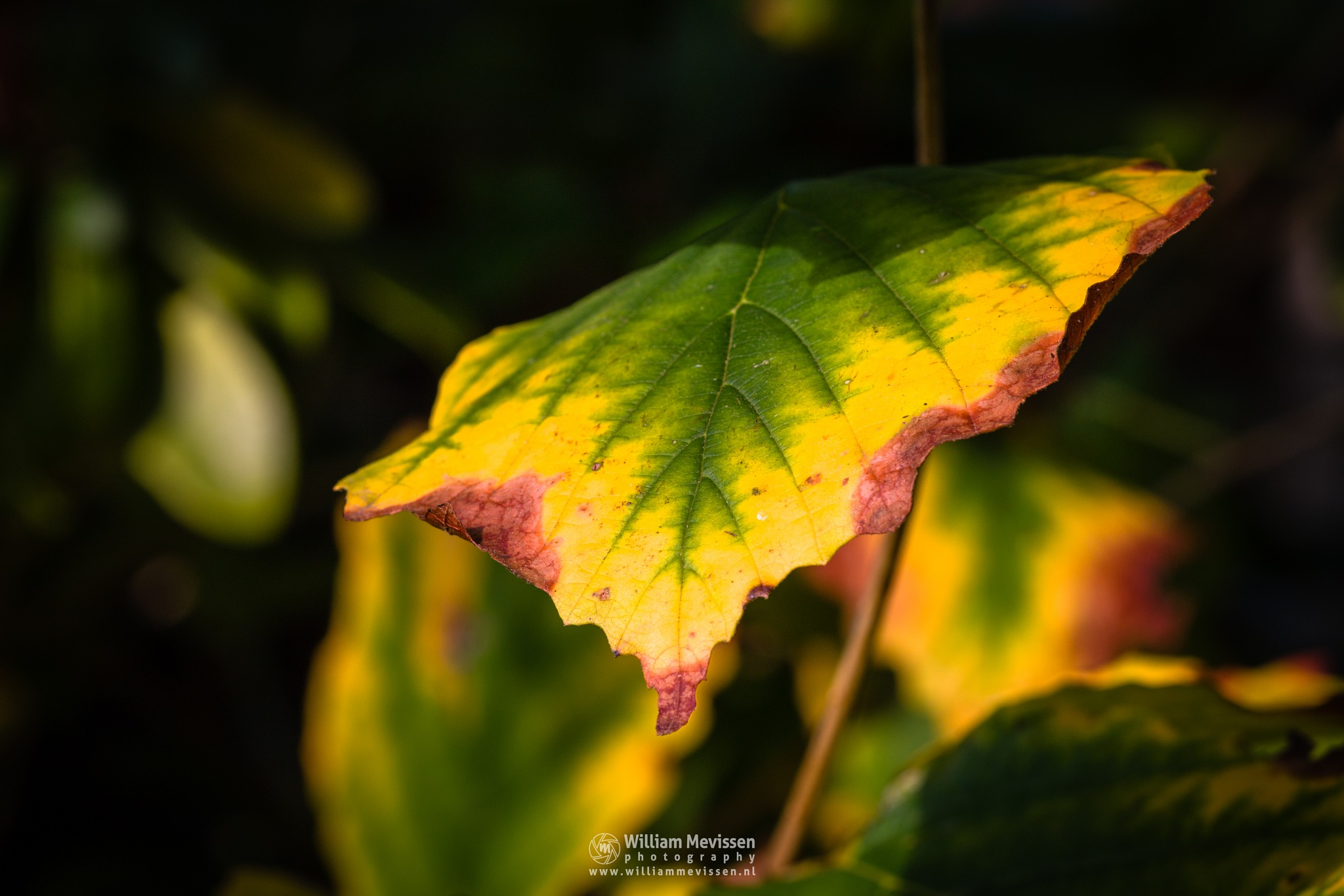 Photo in Macro #autumn #colors #foliage #nature #red #green #yellow #leaves #tree #hazel #witch hazel