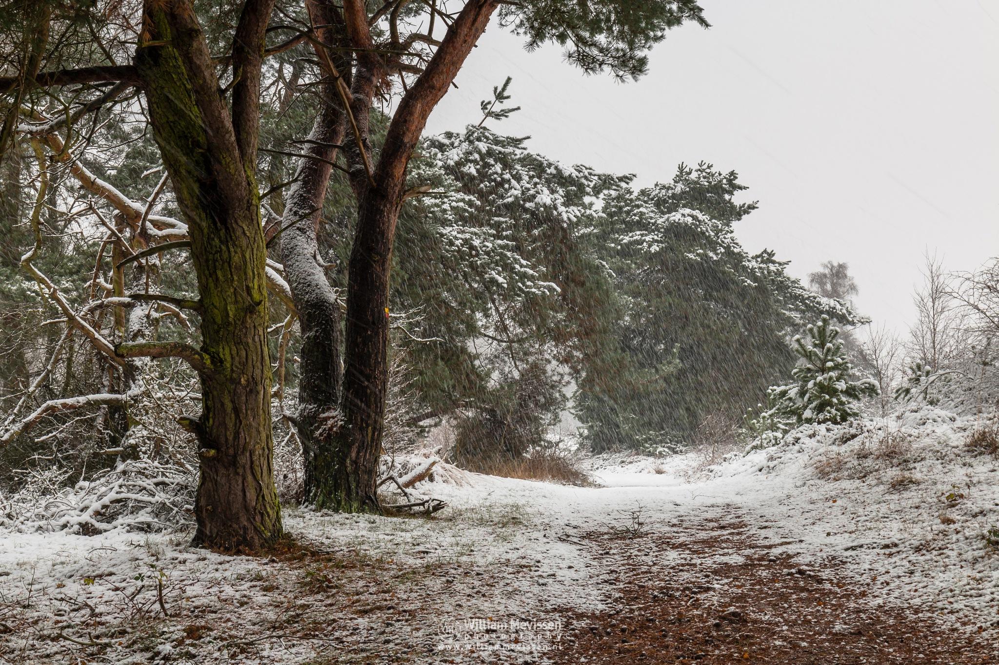 Snow Trees by William Mevissen