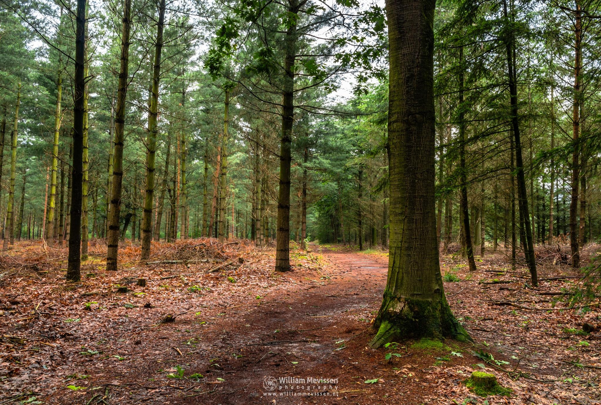Pine Tree Forest by William Mevissen