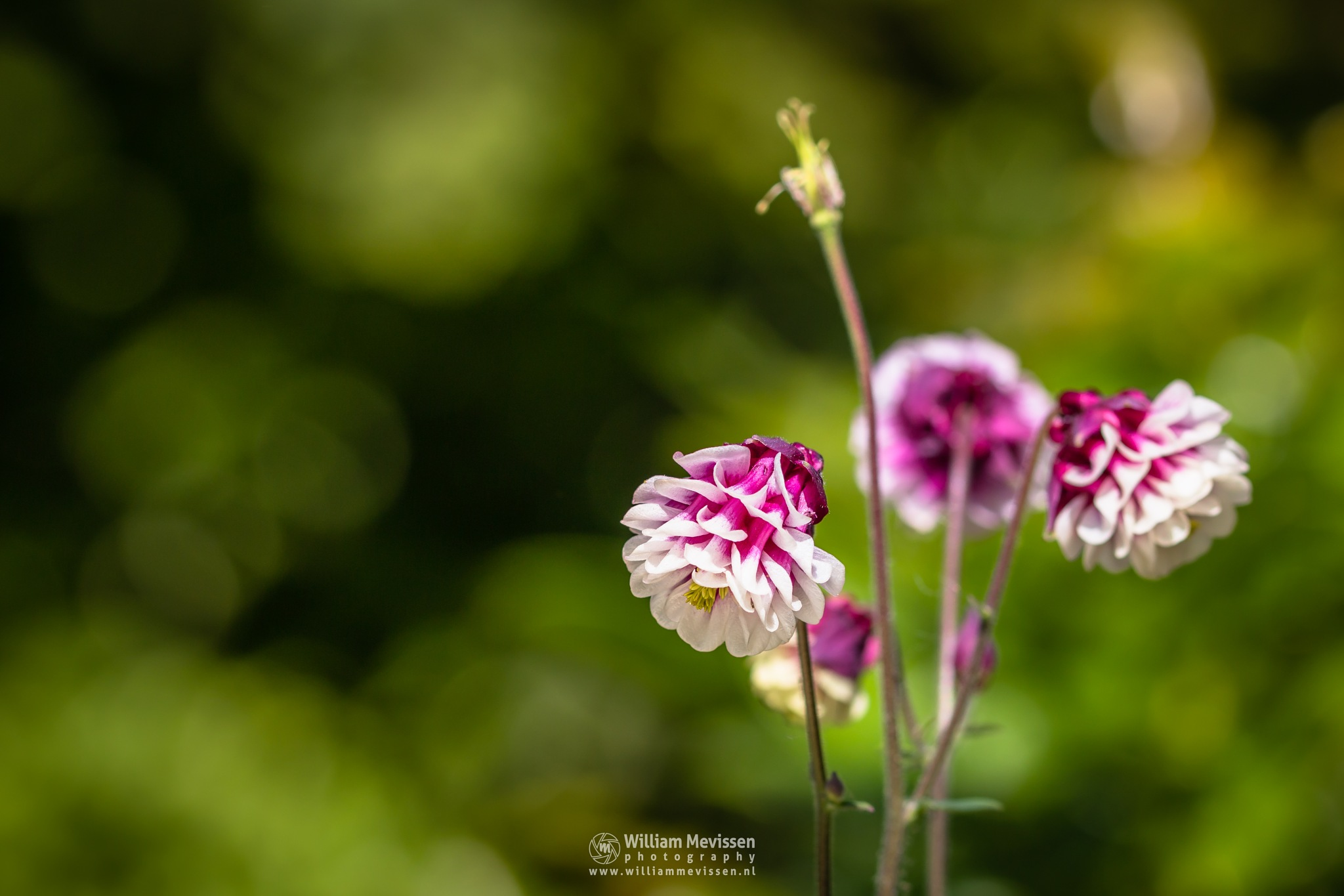 Winky Double Red and White by William Mevissen