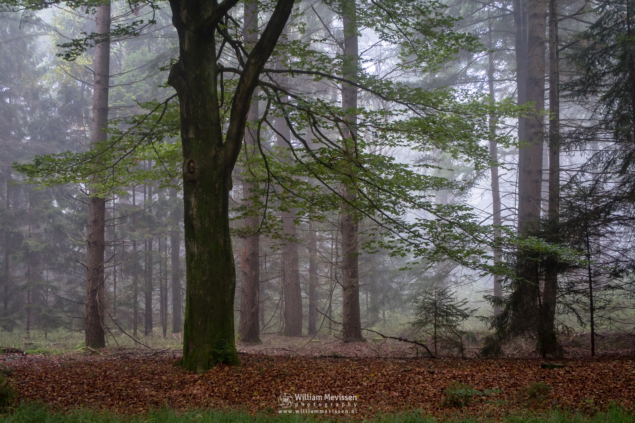 Beech by William Mevissen