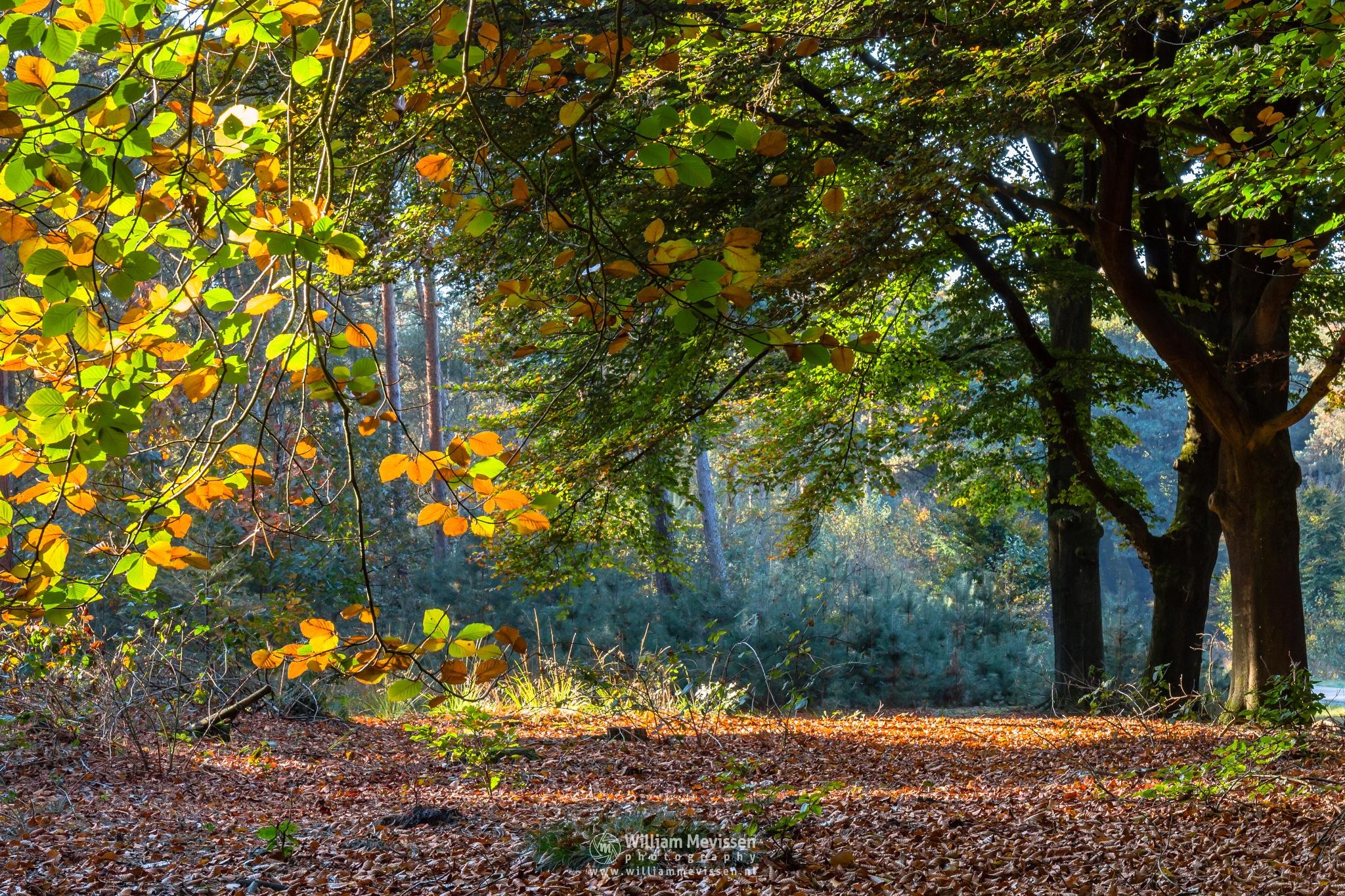 Beech Trees Fall Foliage by William Mevissen
