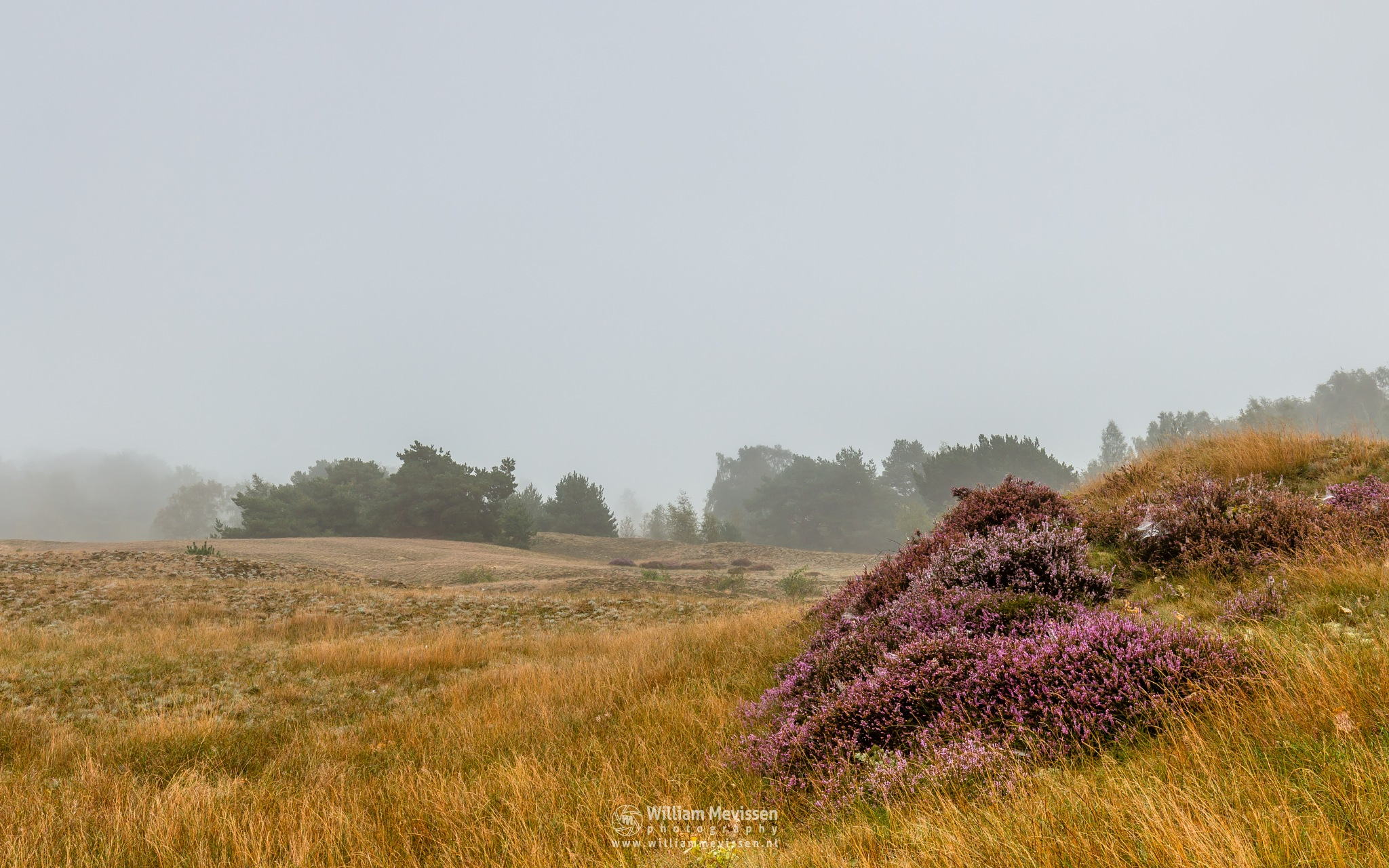 Photo in Landscape #bergerheide #limburg #heather #nature #light #mood #mist #dunes #fog #blooming #bergen #forest #woods #maasduinen #nieuw-bergen #noord-limburg