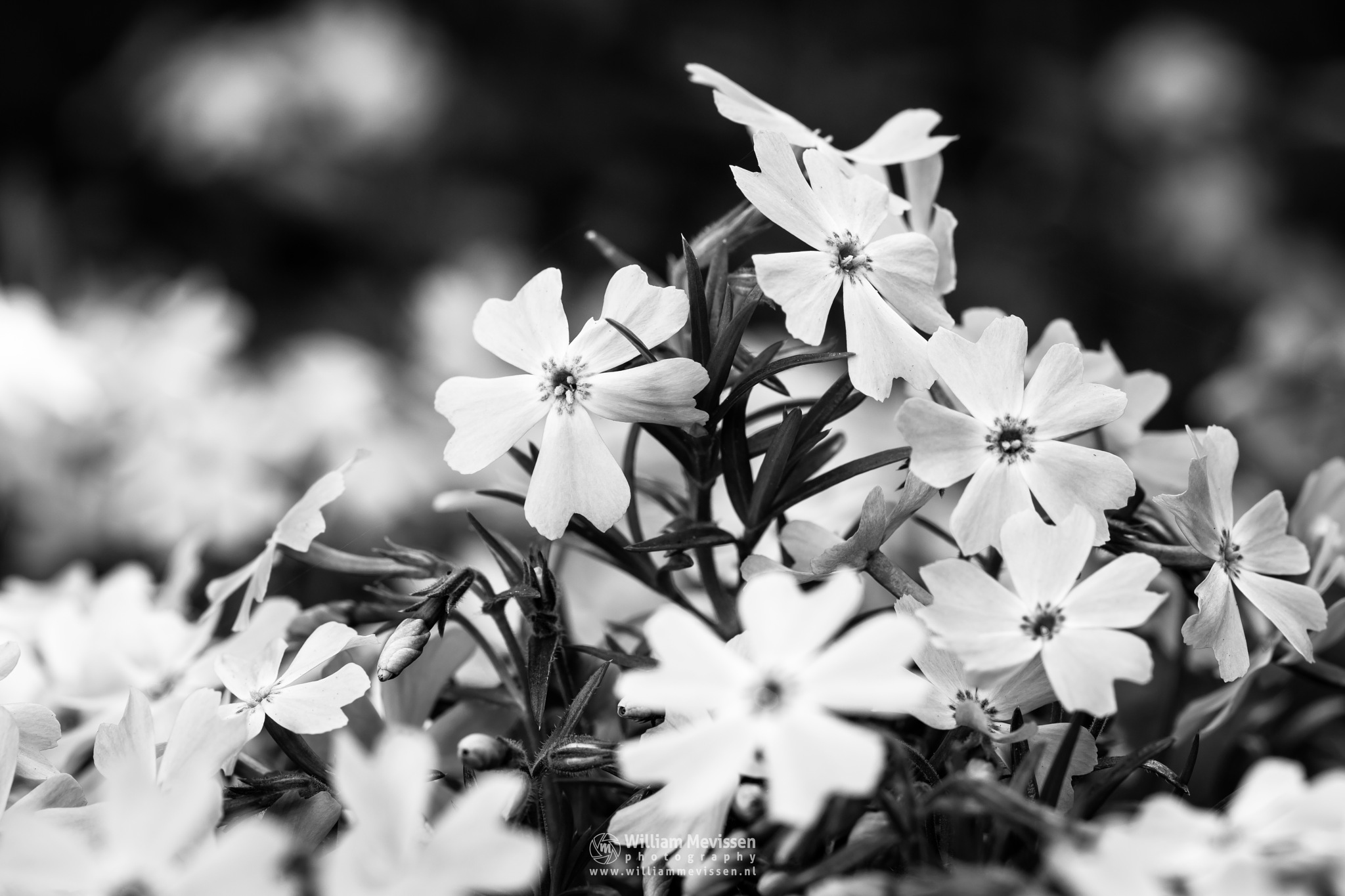 Phlox Subulata by William Mevissen