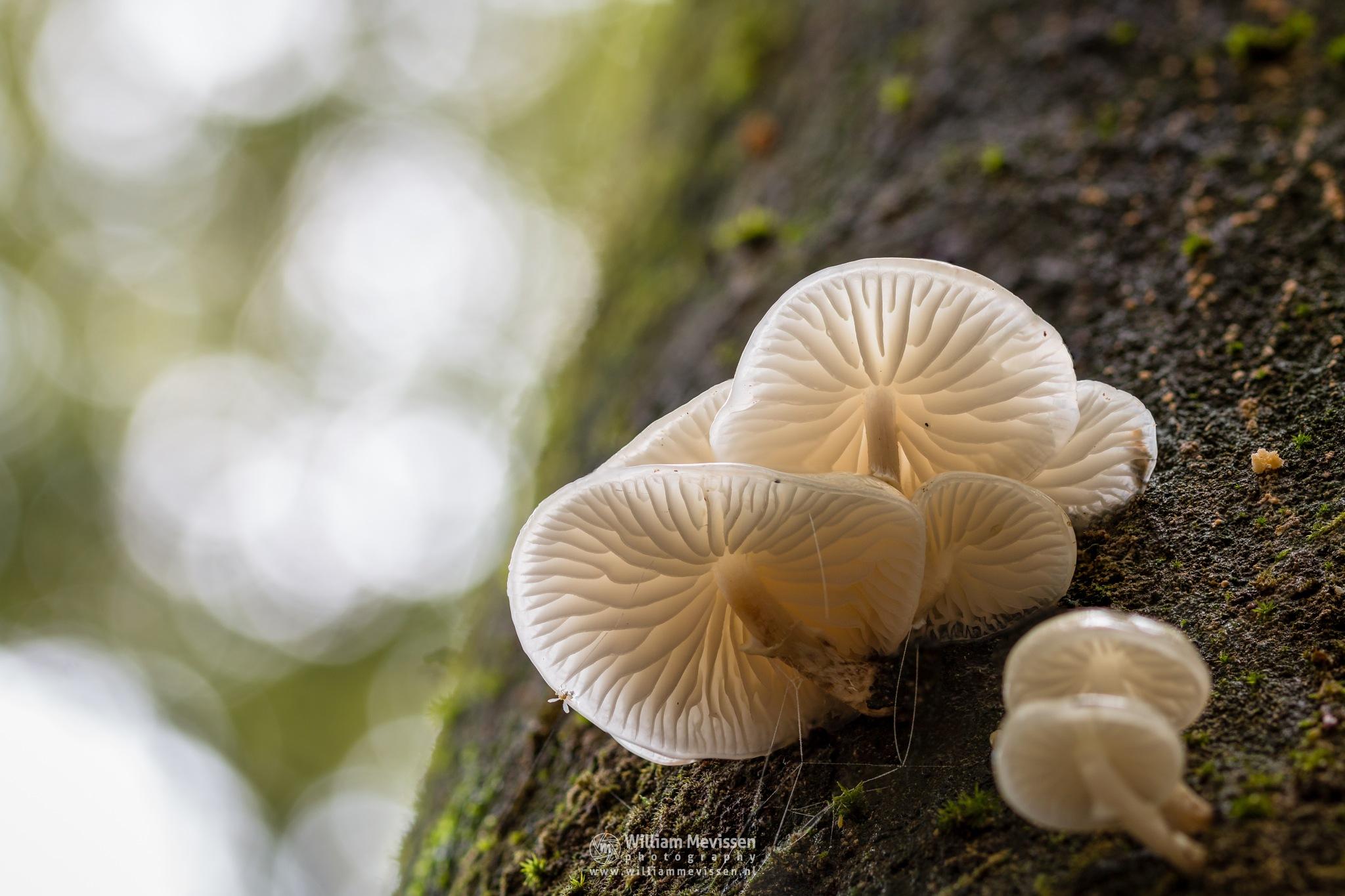 Porcelain Fungus by William Mevissen