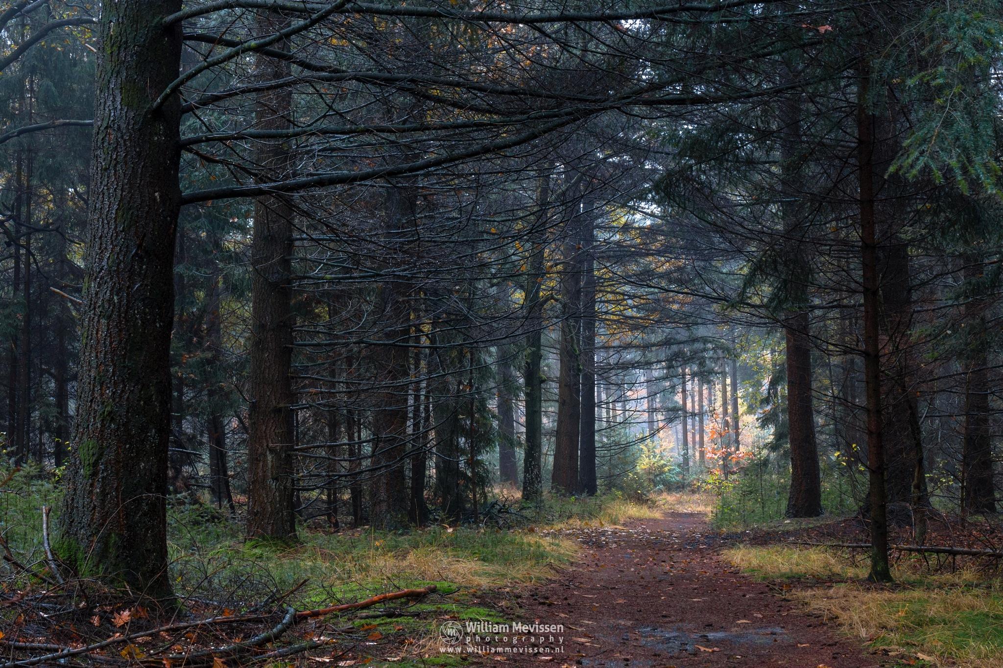 Pine Forest Path by William Mevissen