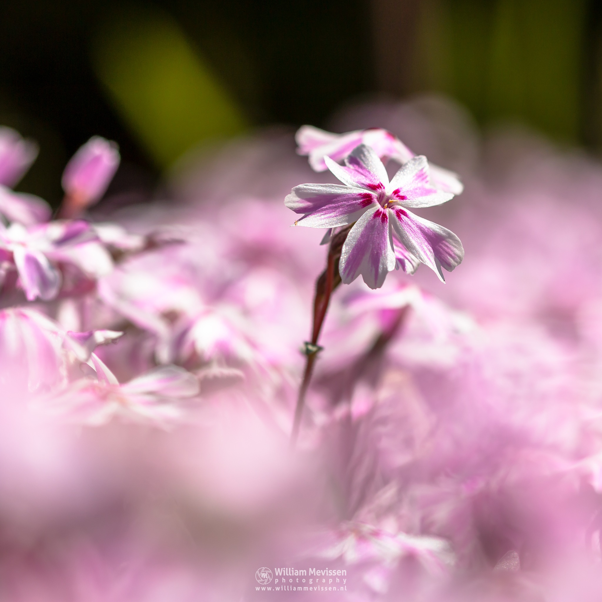 Photo in Macro #phlox #subulata #candy #stripes #candystripes #flower #macro #spring #green #pink #red #white