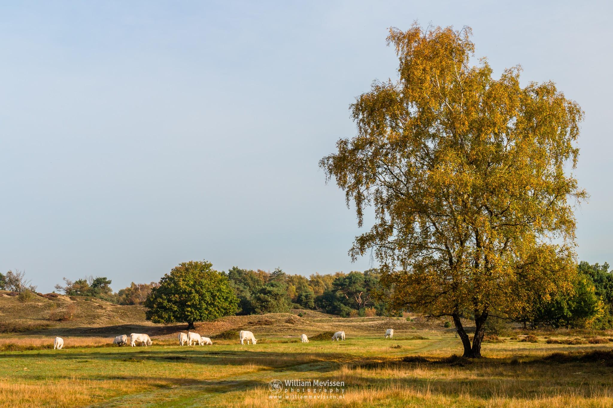 Photo in Random #bergerheide #maasduinen #sunrise #path #cows #mood #nature #limburg #noord-limburg #bergen #nieuw-bergen #gold #birch #golden #autumn