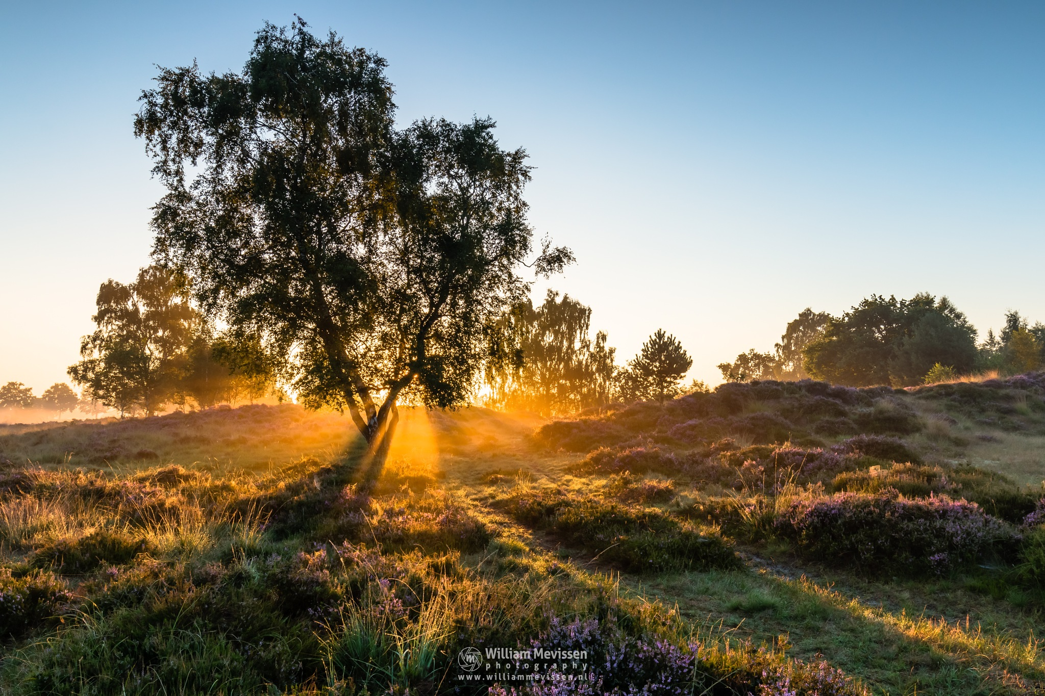 Photo in Nature #eckeltsebergen eckeltse heat #eckeltsebergen #eckeltse #heather #maasduinen #blooming #limburg #noord-limburg #bergen #nieuw-bergen #sunrise #mood #light