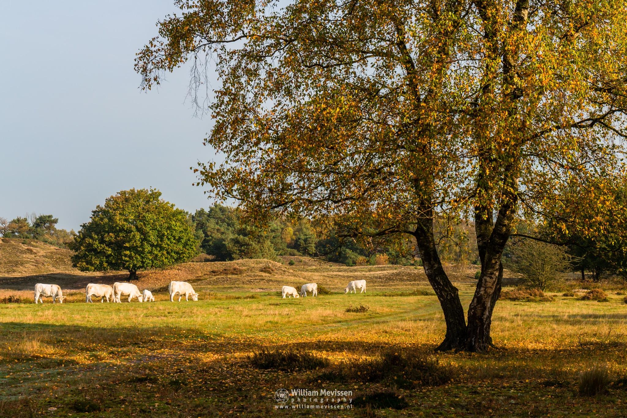 Photo in Landscape #golden #grazing #cows #sunny #dunes #birch #gold #nature #autumn #light #maasduinen #bergerheide #nieuw-bergen #bergen #limburg #noord-limburg #tree
