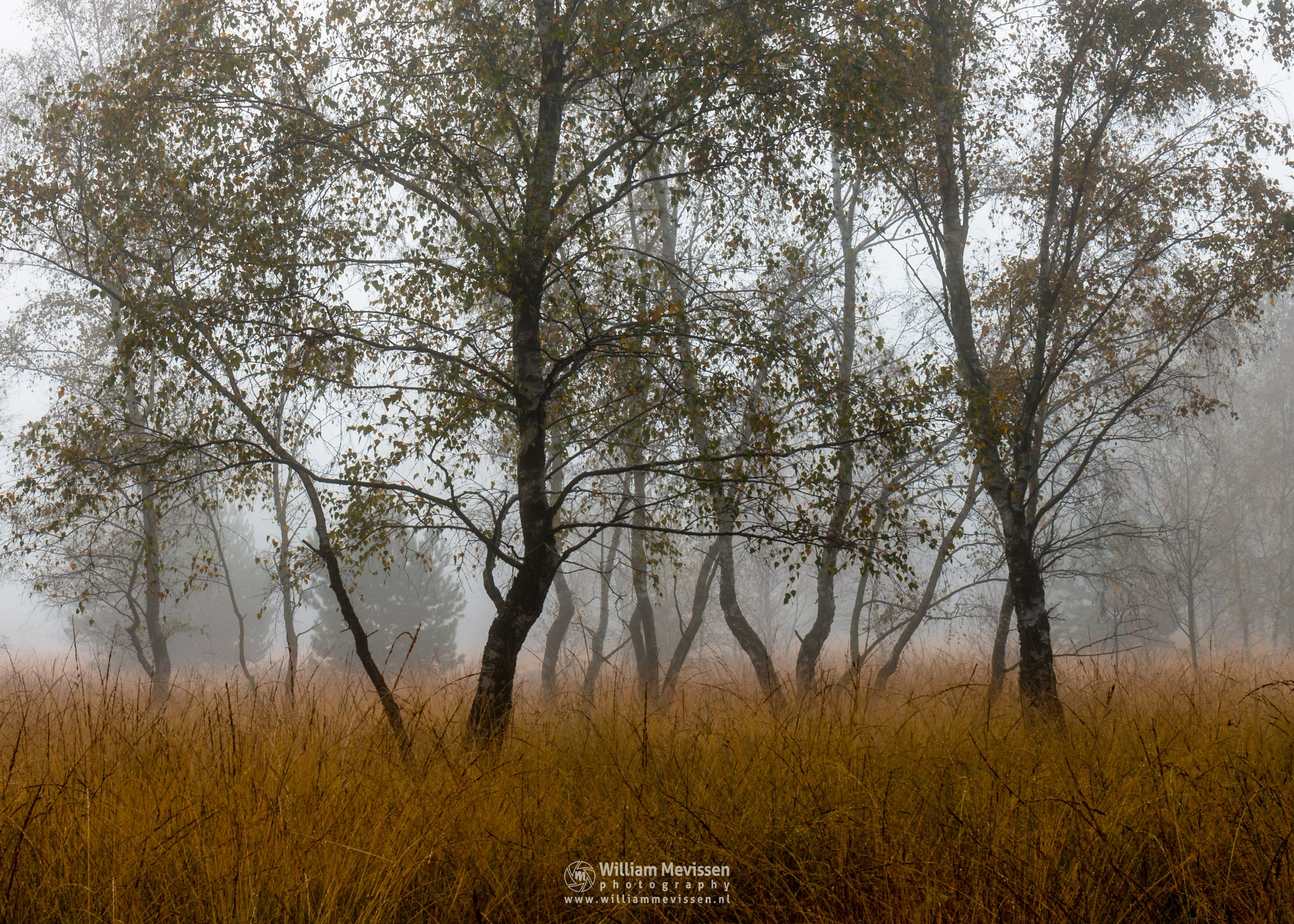 Photo in Nature #bergerheide #forest #woods #maasduinen #limburg #nieuw-bergen #noord-limburg #bergen #nature #trees #autumn #mist #fog #mood #birch #birches