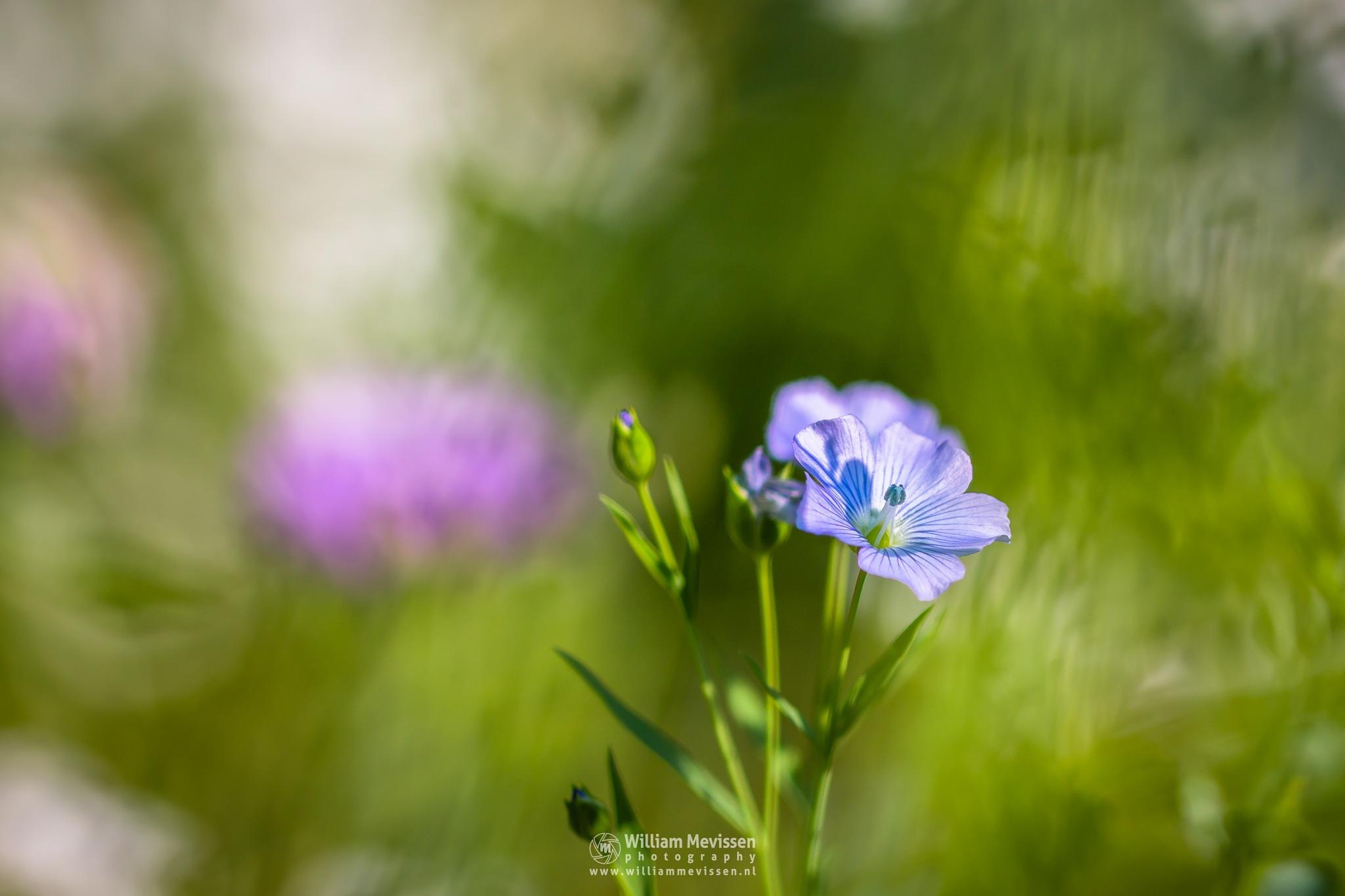 In A Flower Meadows by William Mevissen
