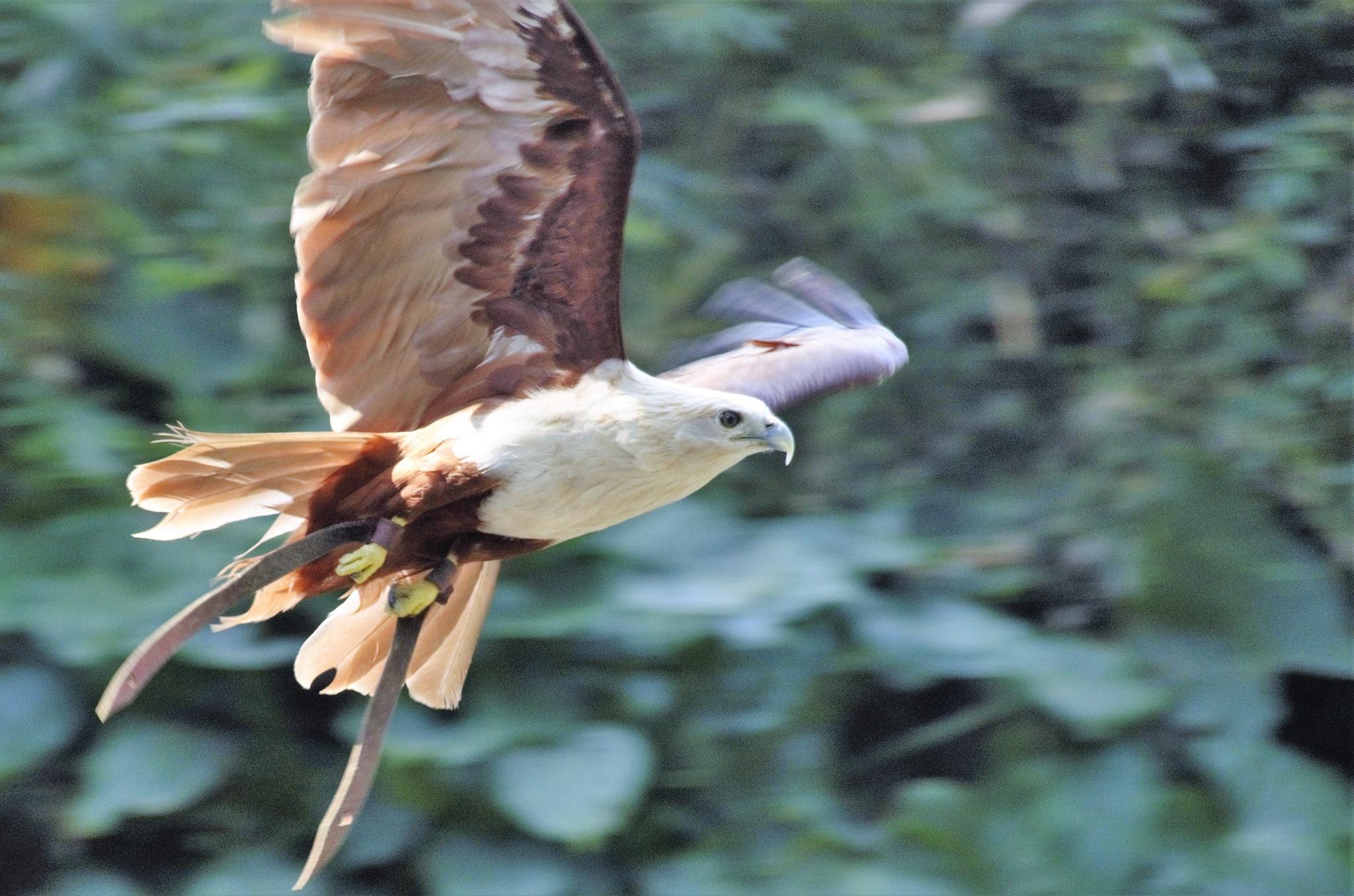 Garuda terbang by arthamade