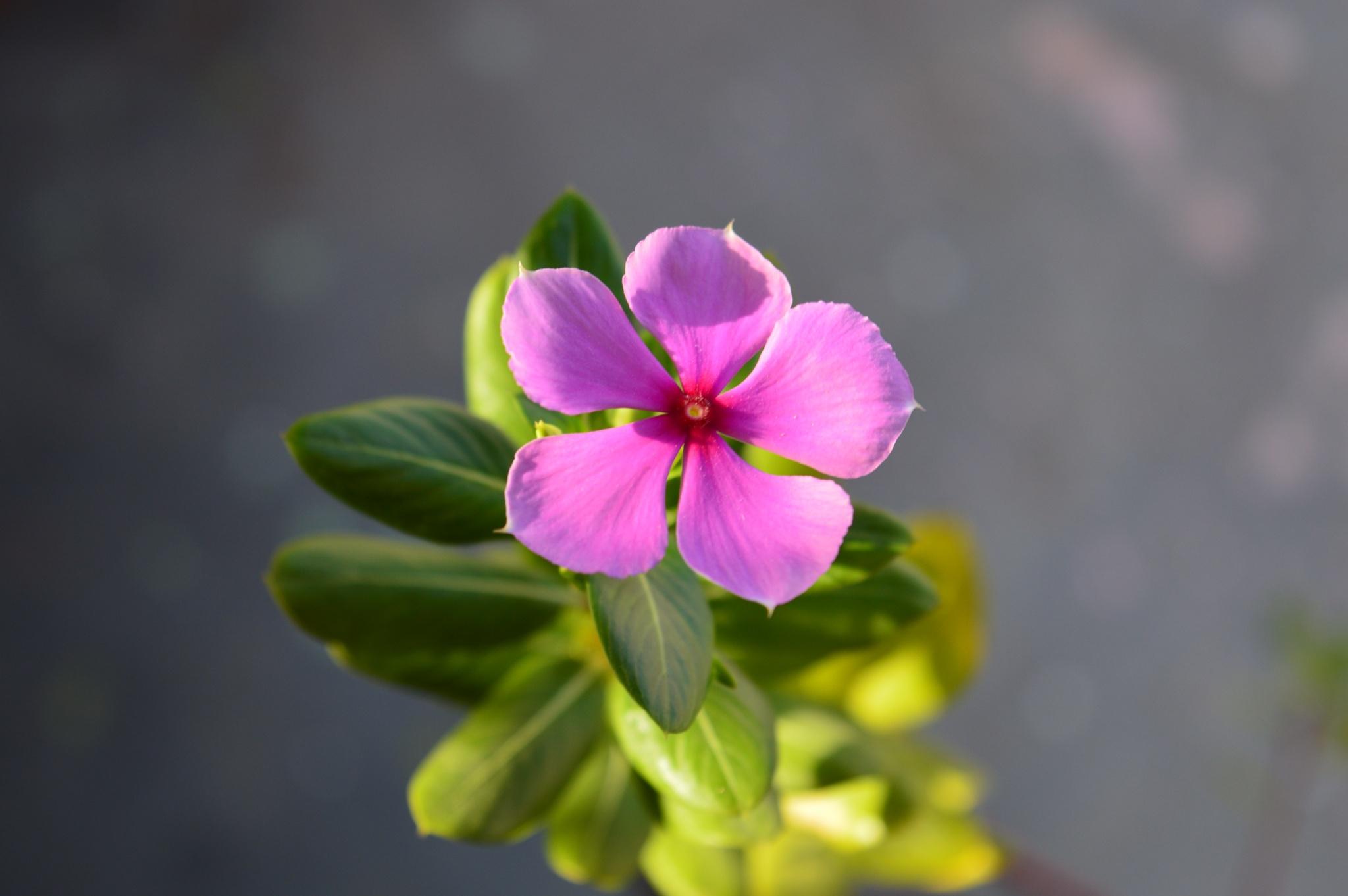 Pink Periwinkle Flower. by Pawan Sharma