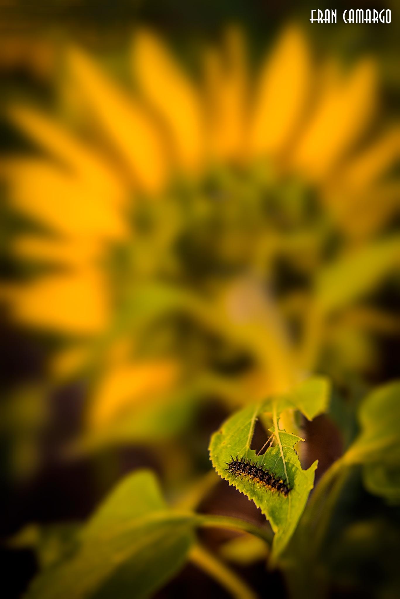 Caterpillar by Fran Camargo