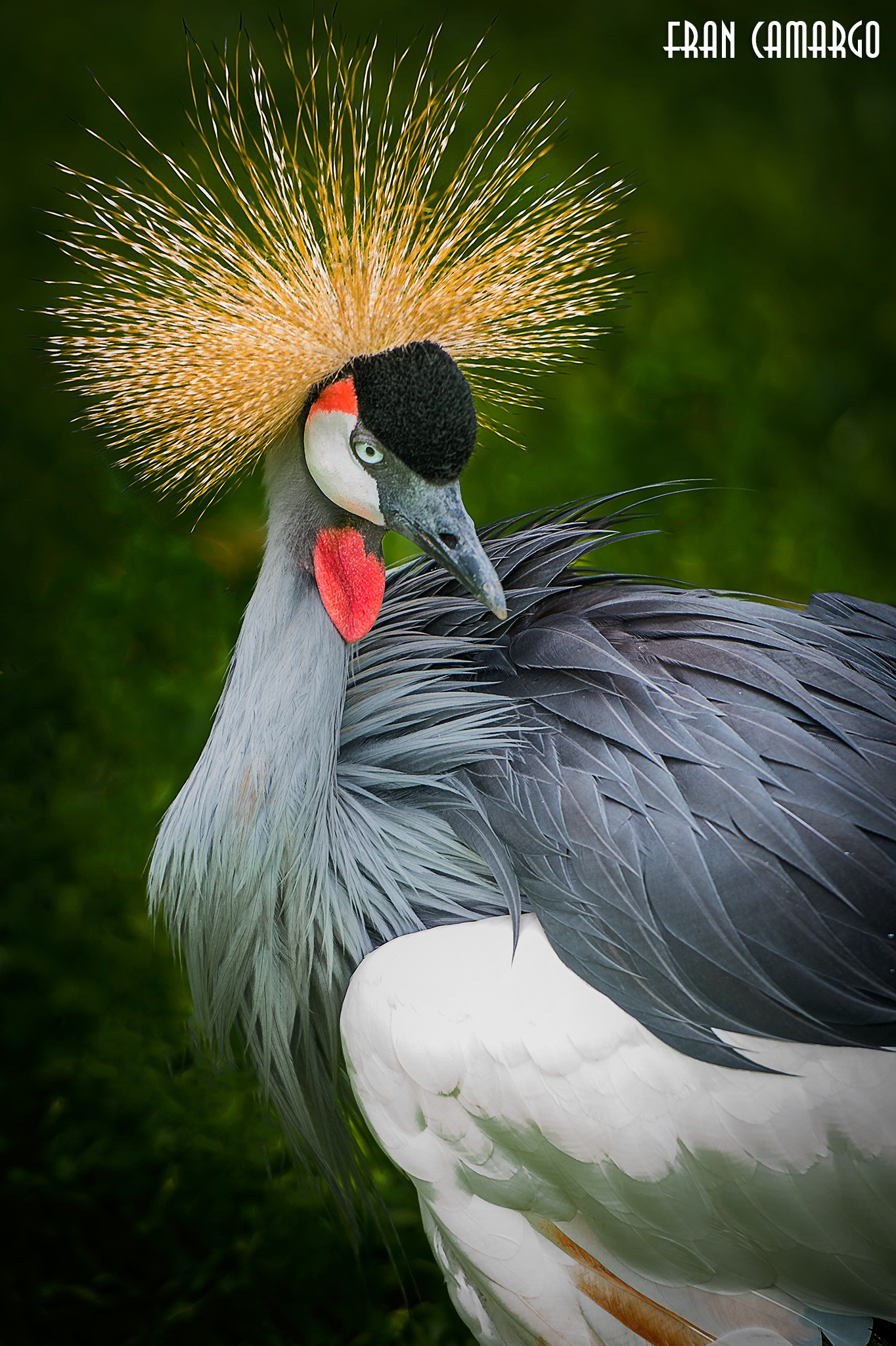 Birds of Bresil by Fran Camargo