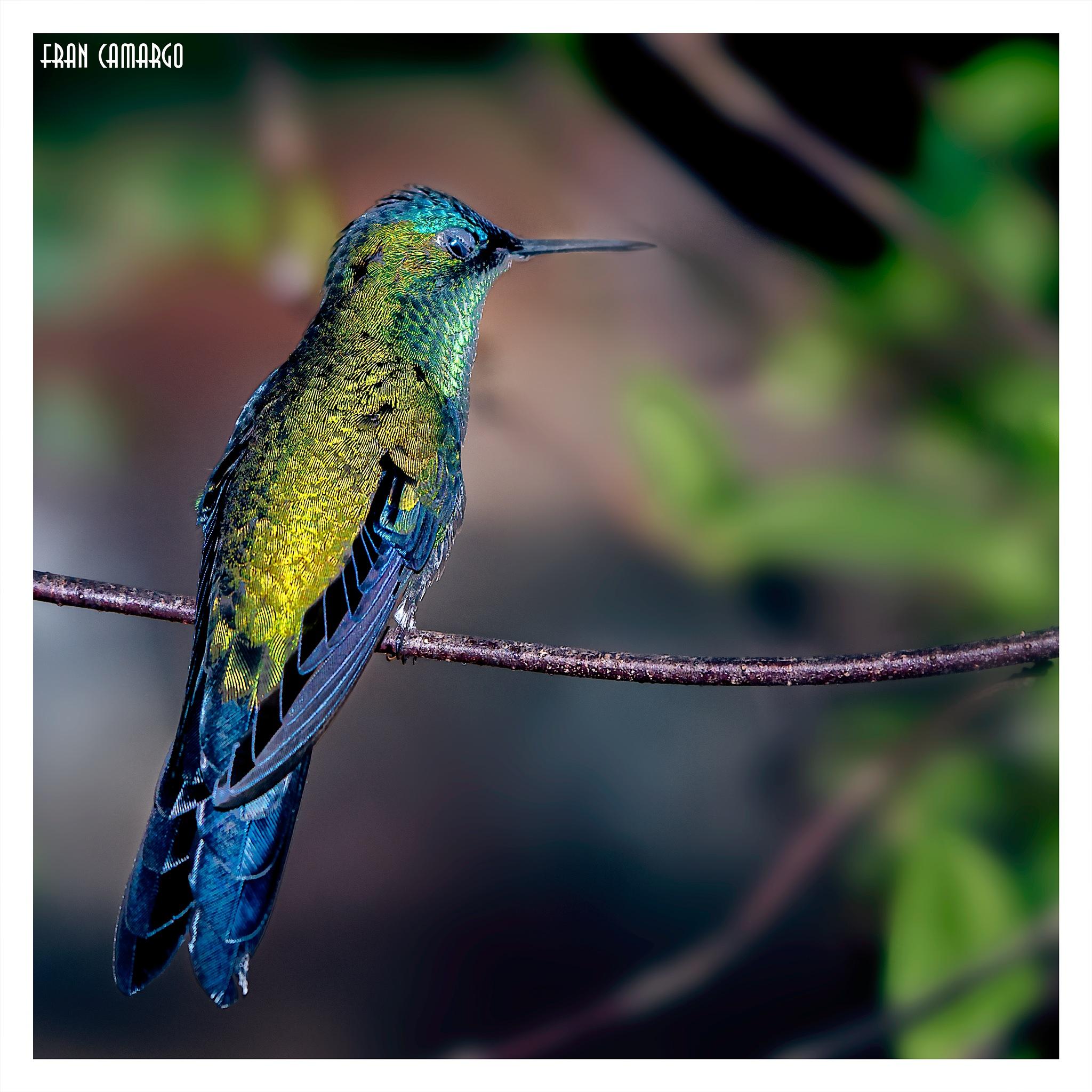 Hummingbird by Fran Camargo