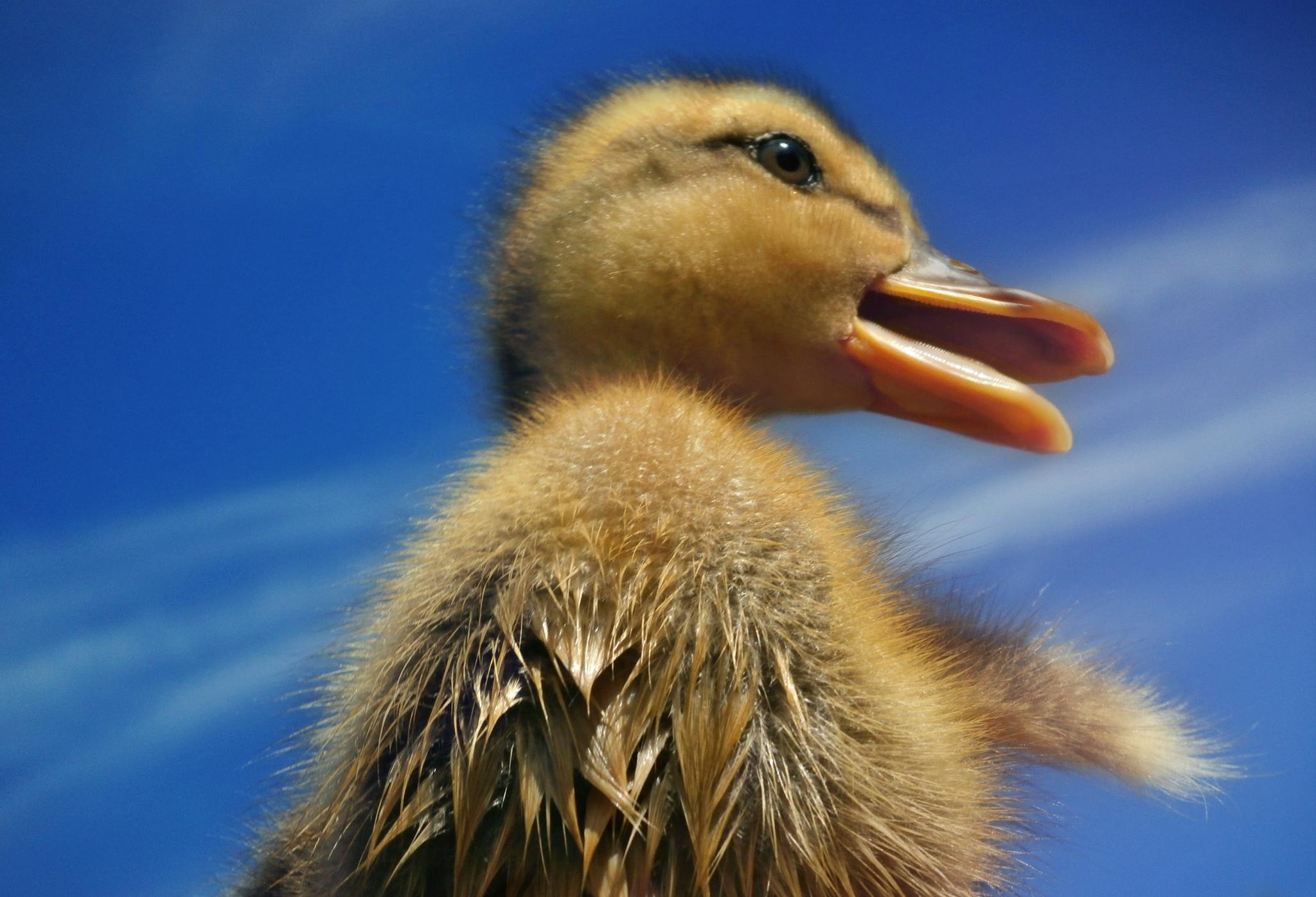 Singing duck by ksenija.glavak
