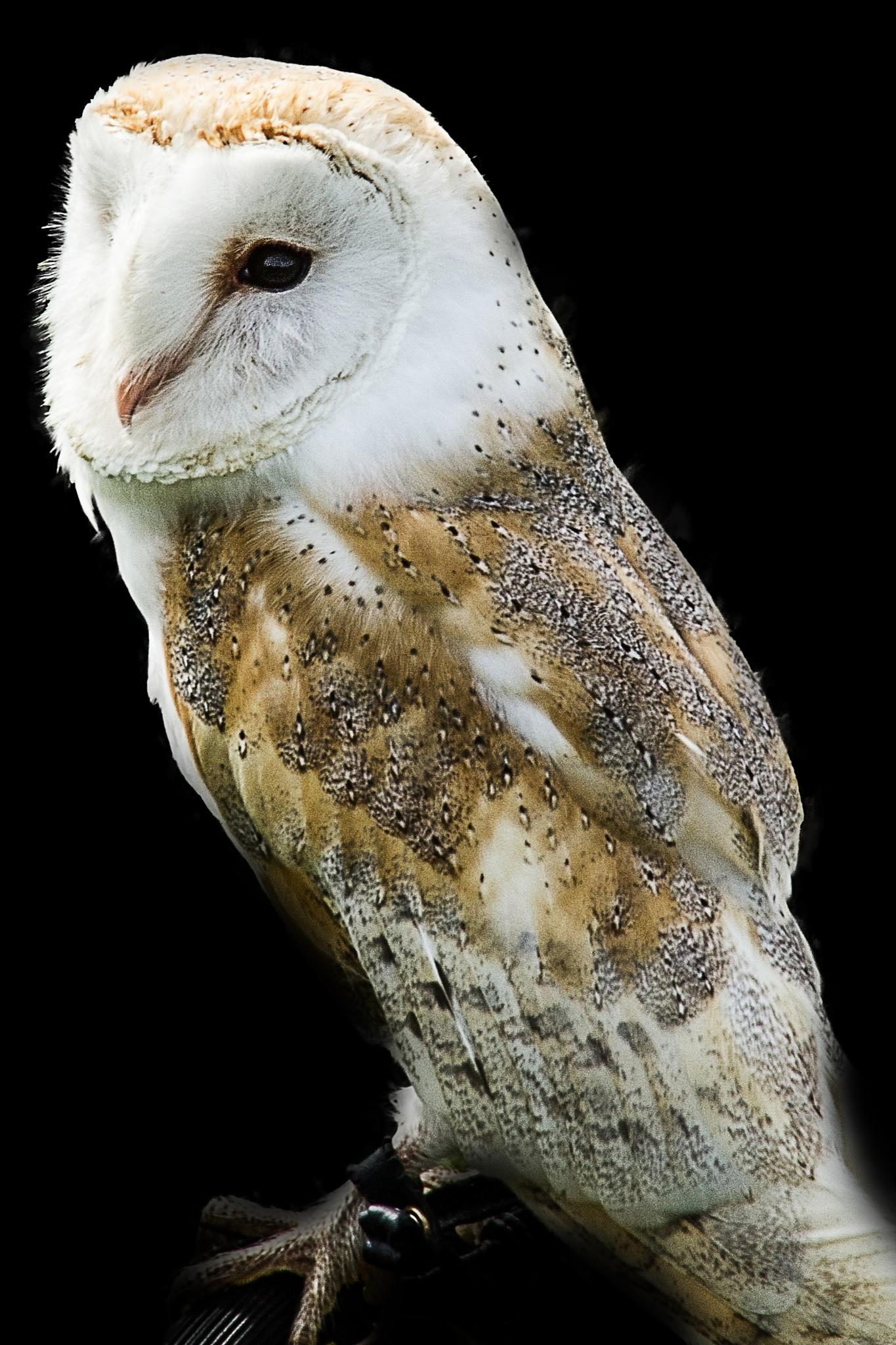 screech owl by Cor.G.  Amature Photographer
