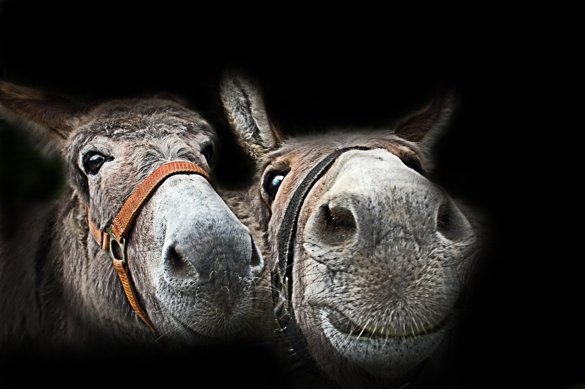 portrait of the donkeys by Cor.G.  Amature Photographer