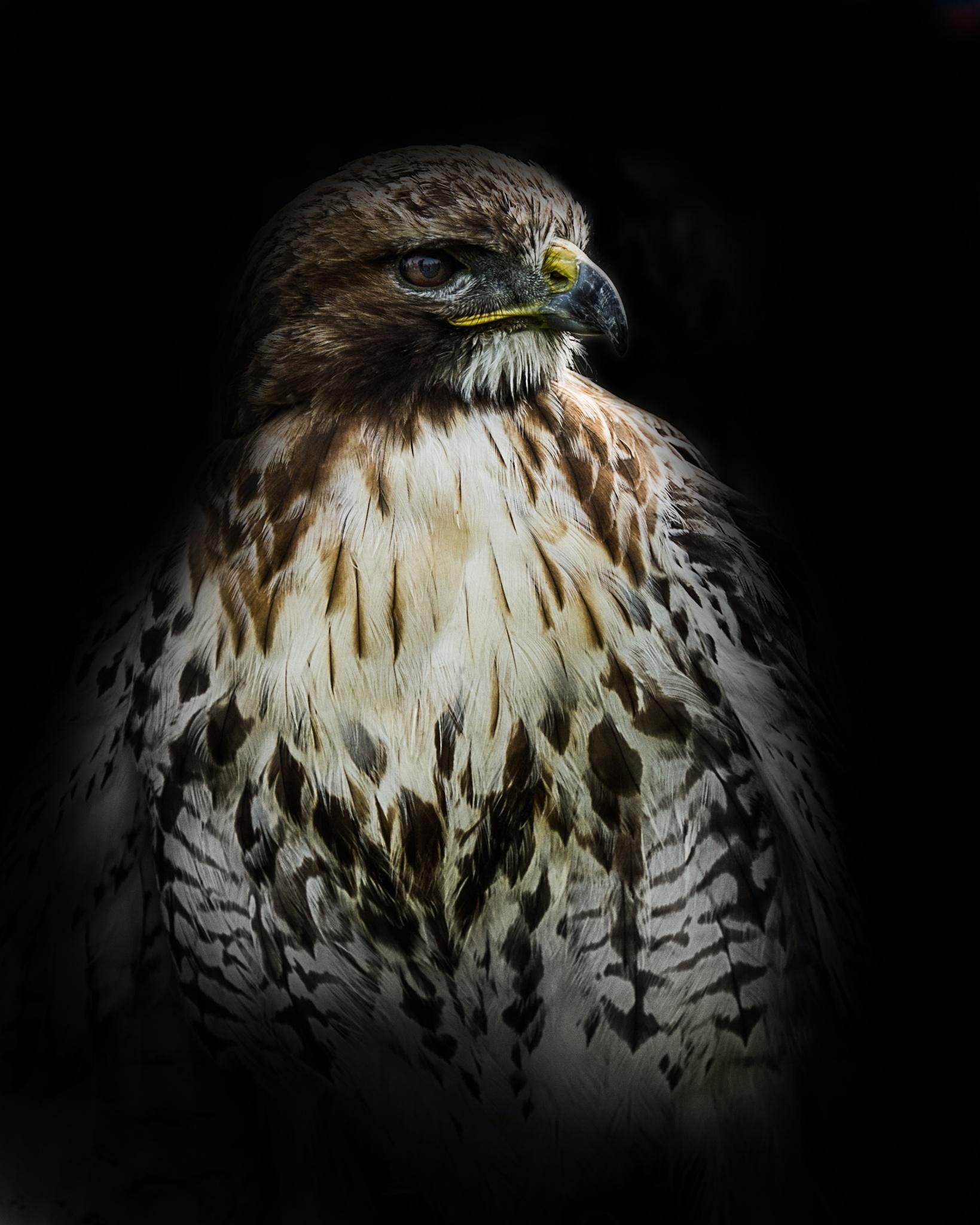 hawk by Cor.G.  Amature Photographer