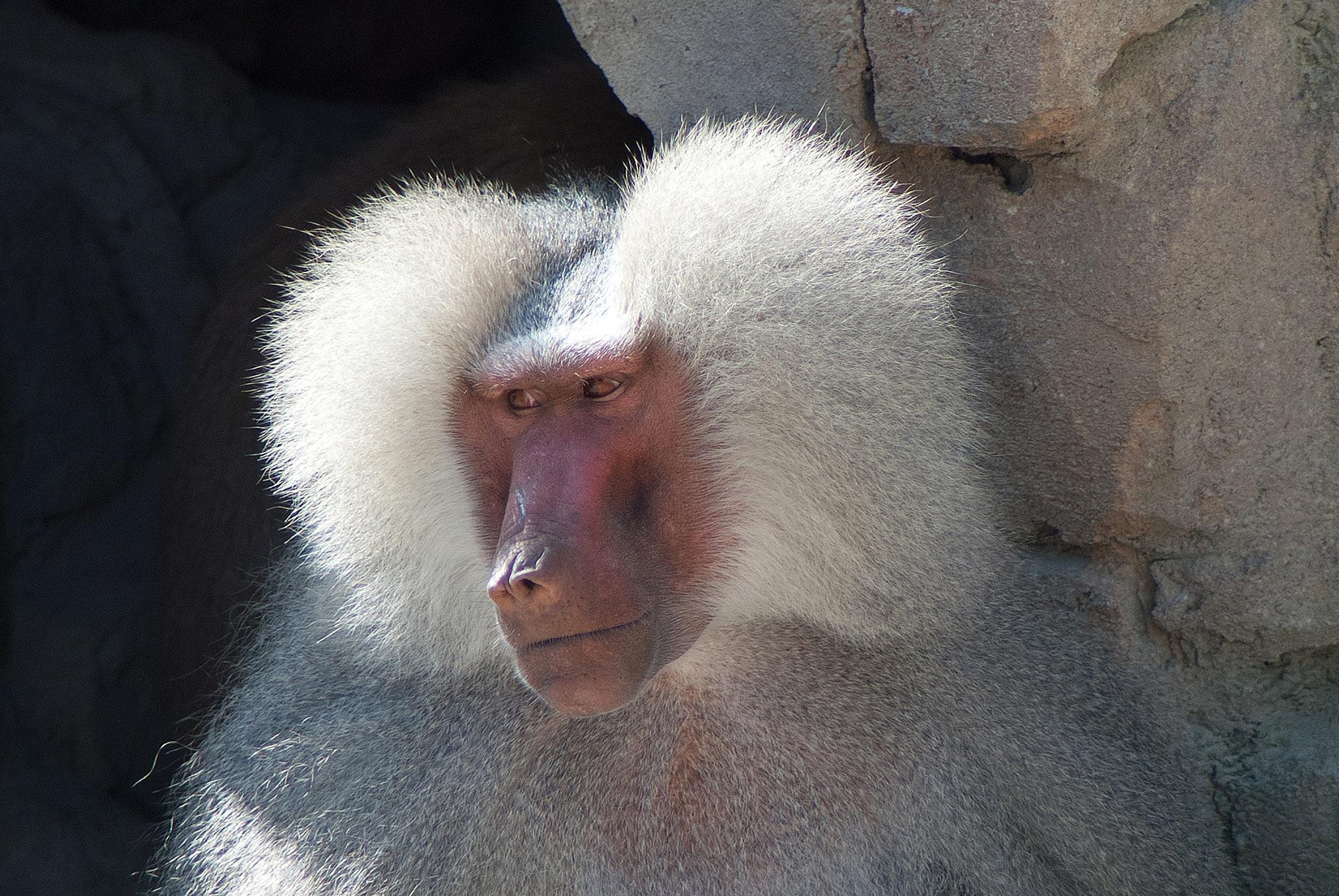 Baboon by Cor.G.  Amature Photographer