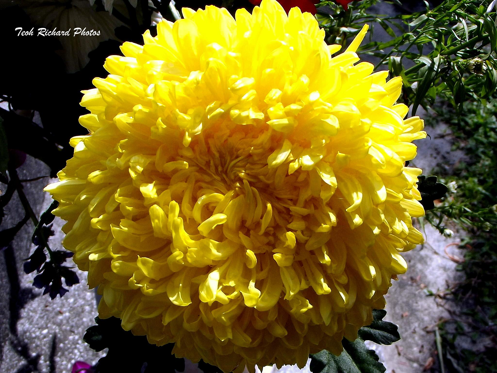 Yellow Chrysanthemum  by teoh.richard.15