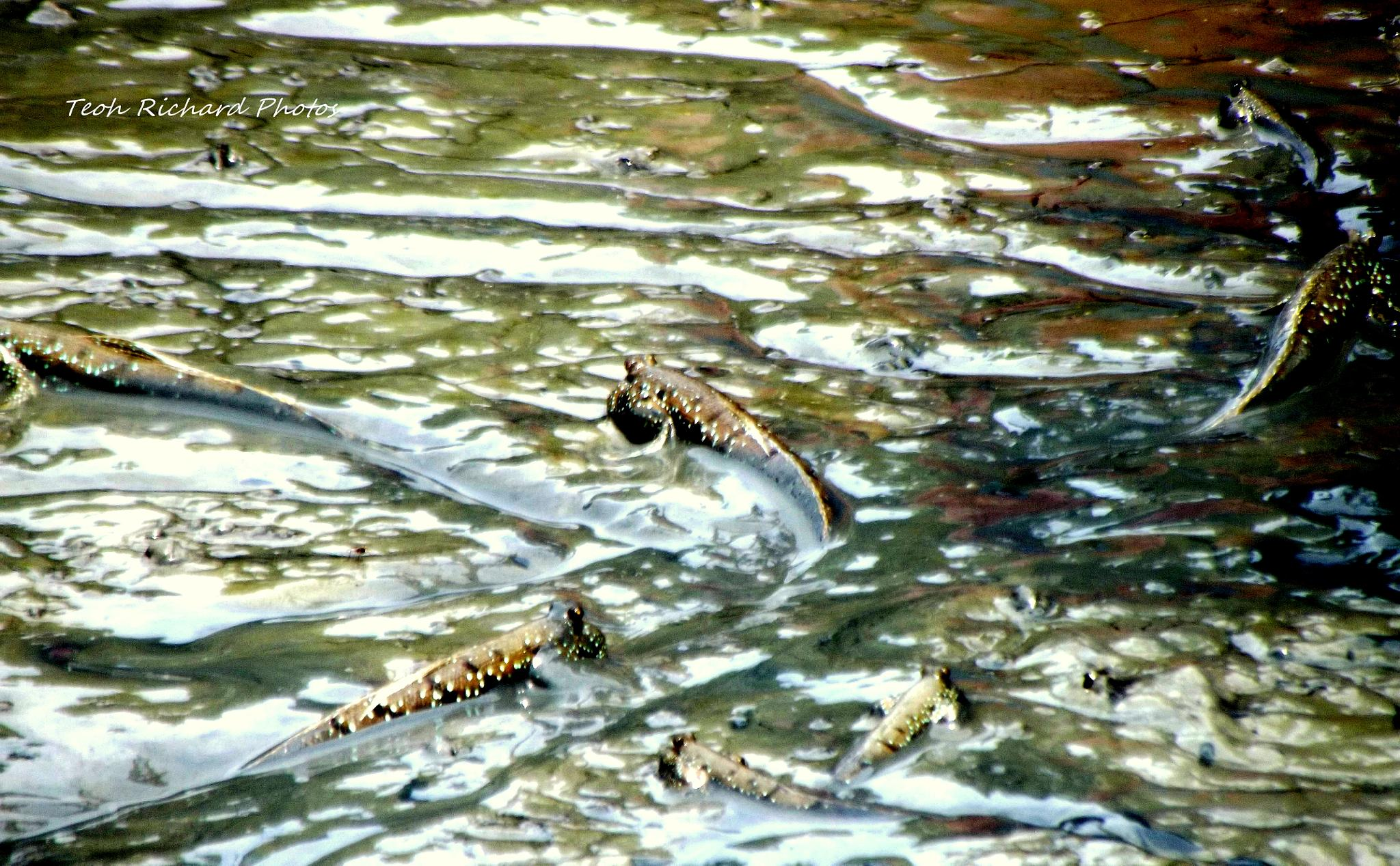 Mud Skippers by teoh.richard.15