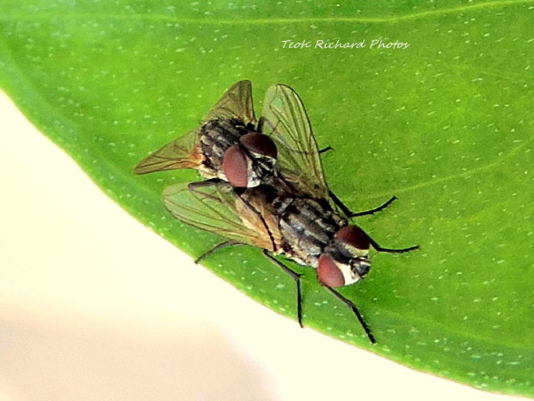 Fly 5 Mating by teoh.richard.15