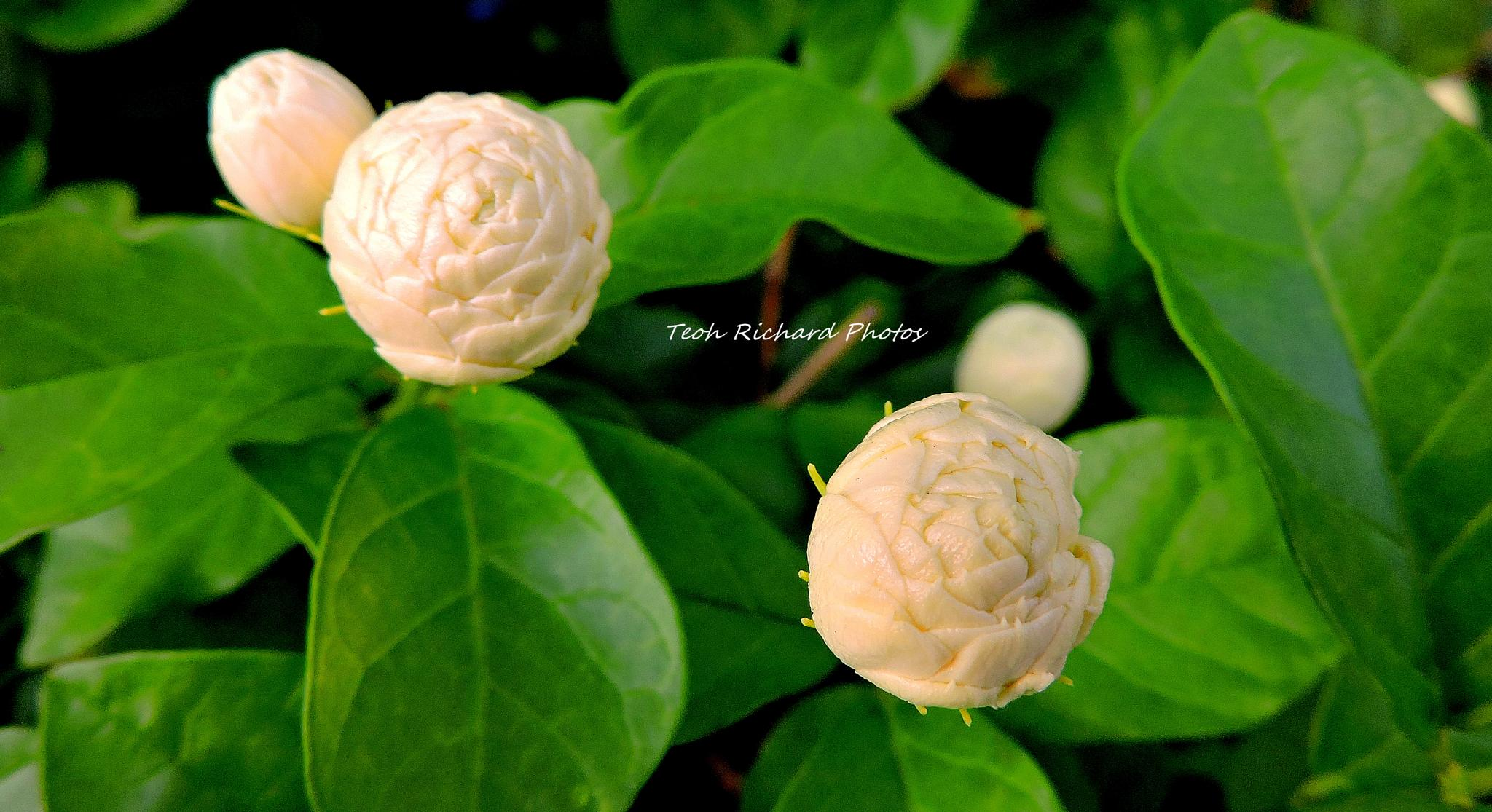 The Buds 2 by teoh.richard.15