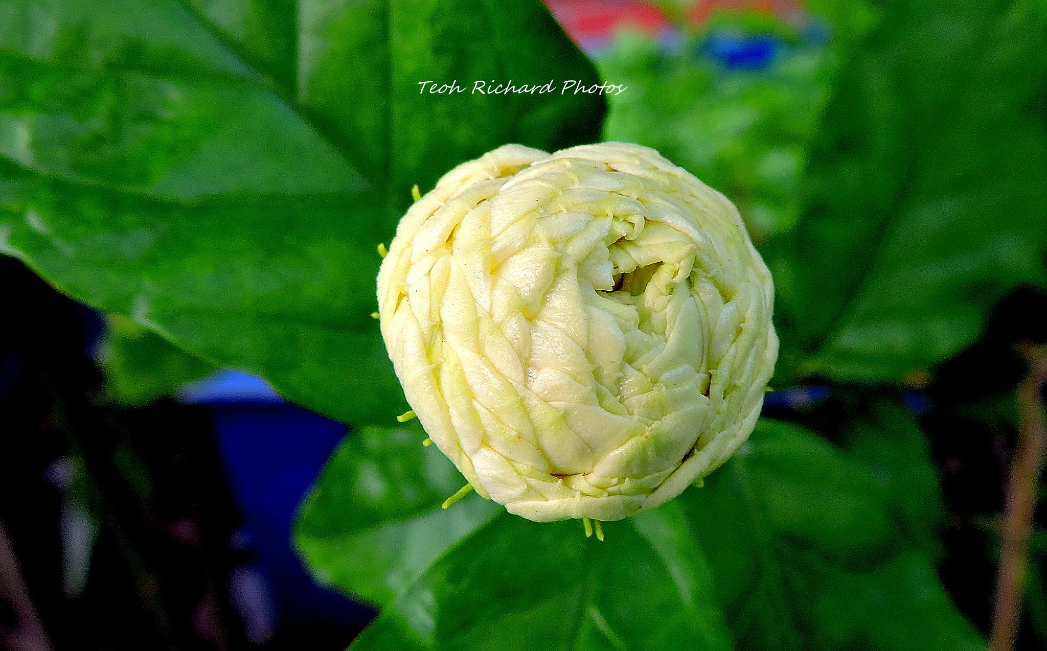 The Bud 3 by teoh.richard.15