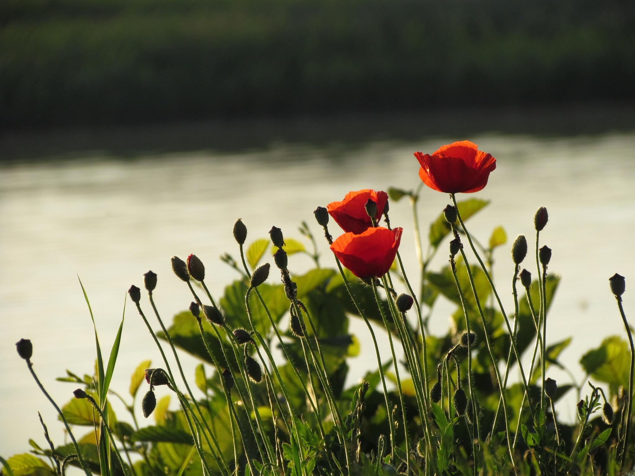Poppies by marta.figurzynskaderouiche