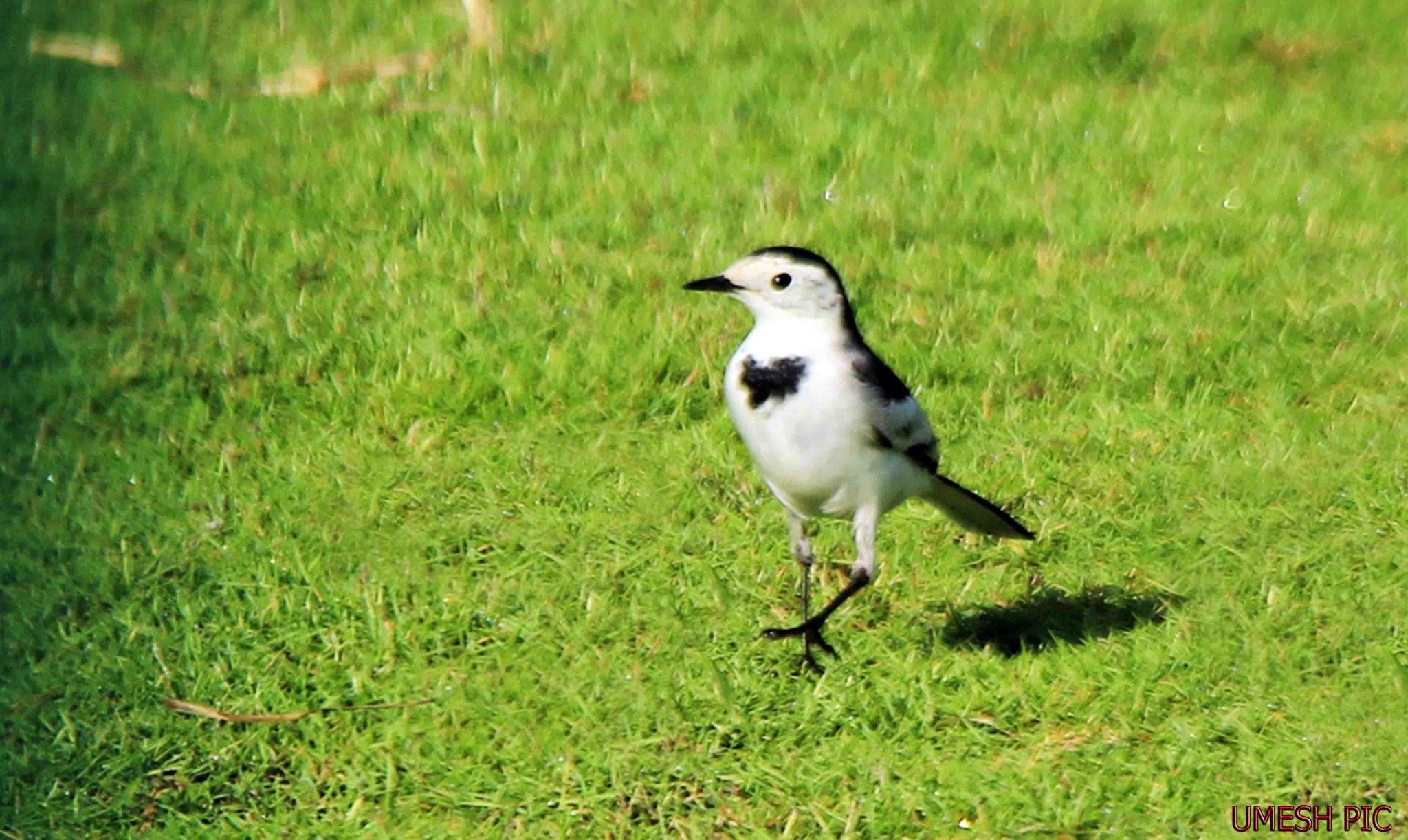 A BIRD by umesh pun