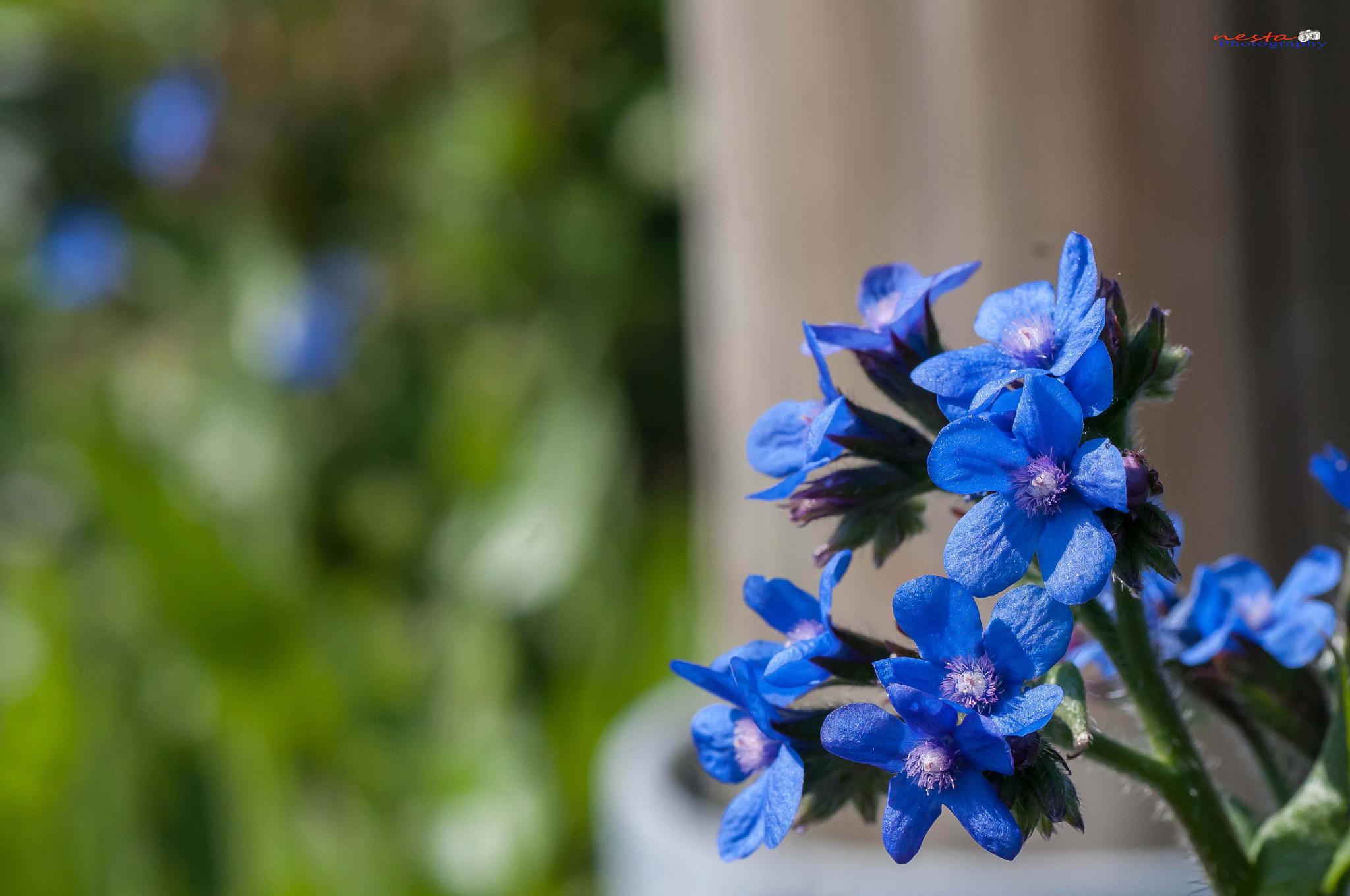 Blue Petals by papa.nesta