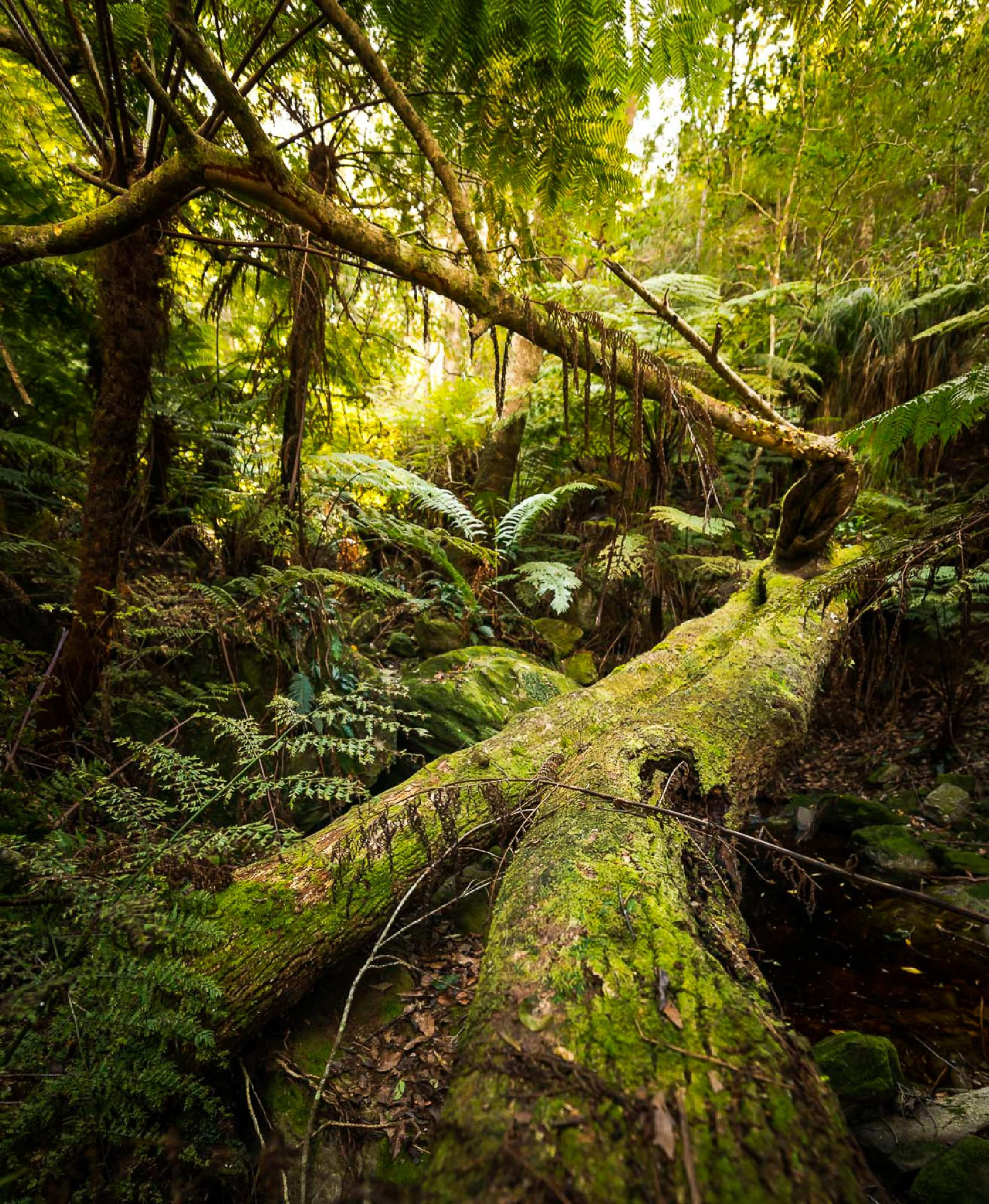 Outeniqua forest scene by Joggie van Staden