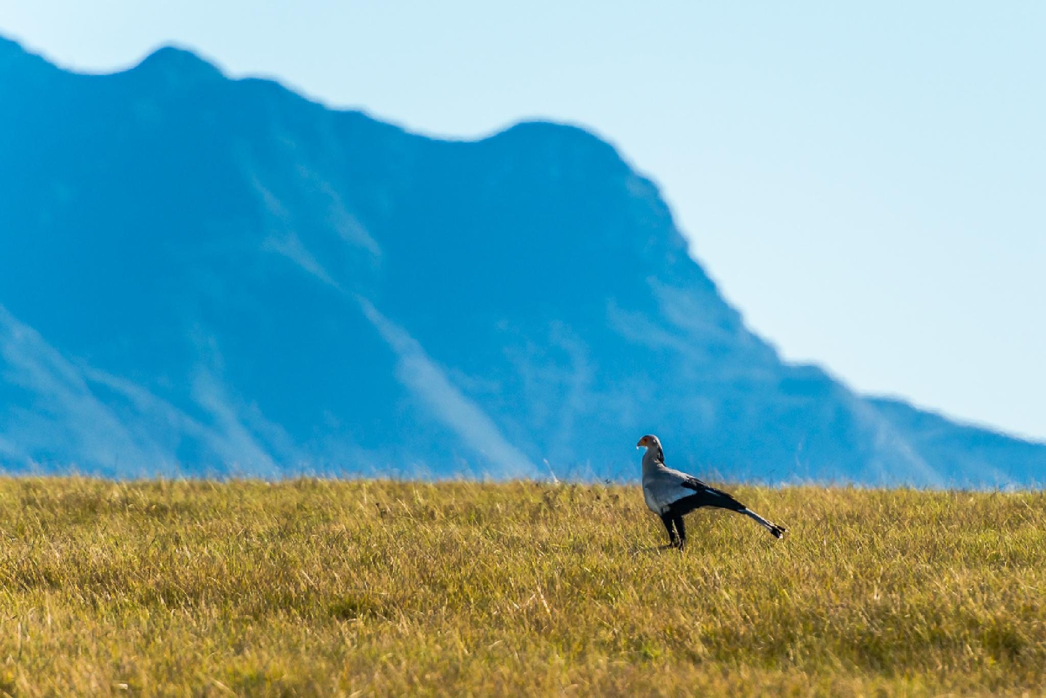 Secratary bird by Joggie van Staden