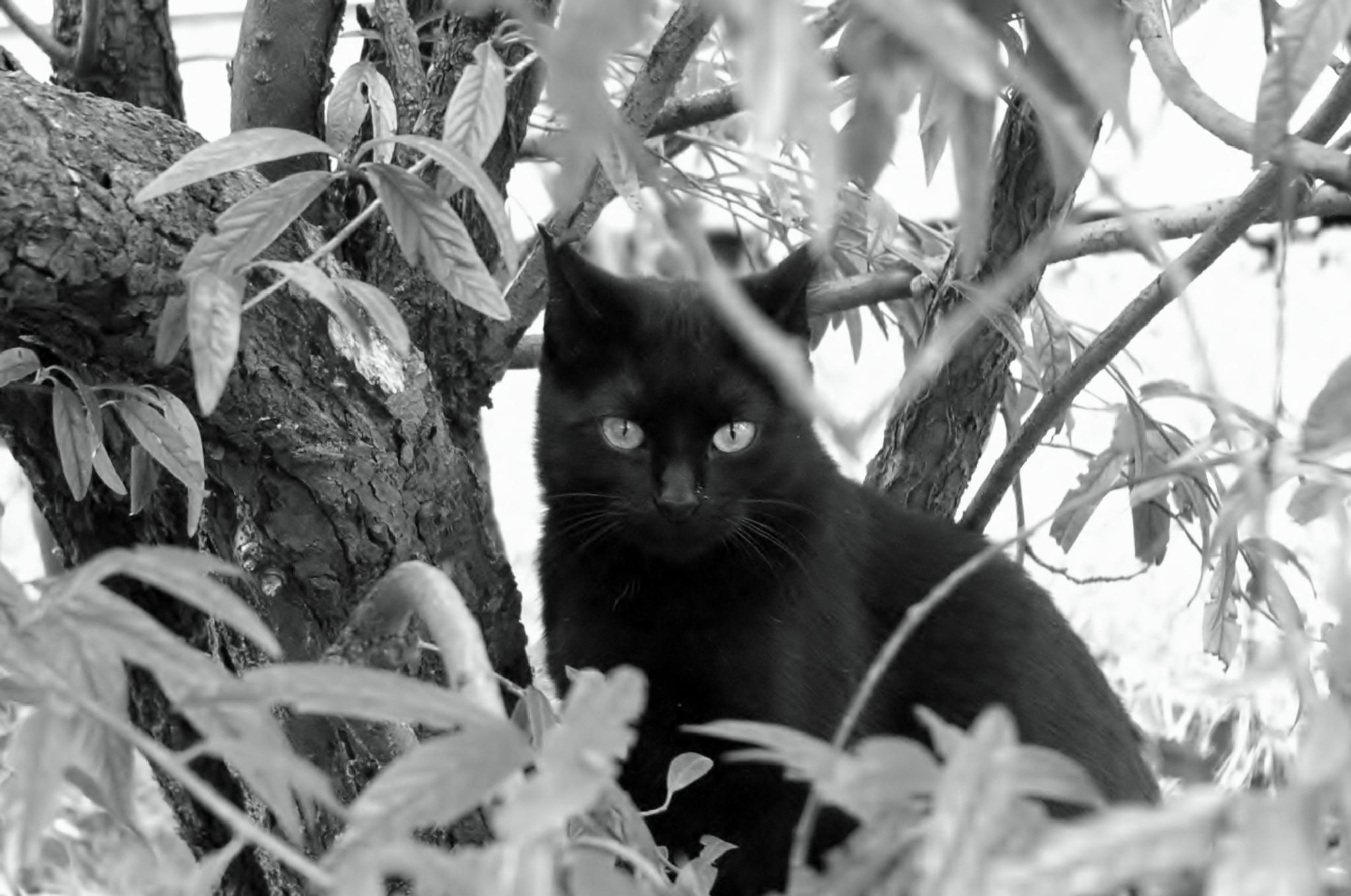 Black Cat by Bulle2a