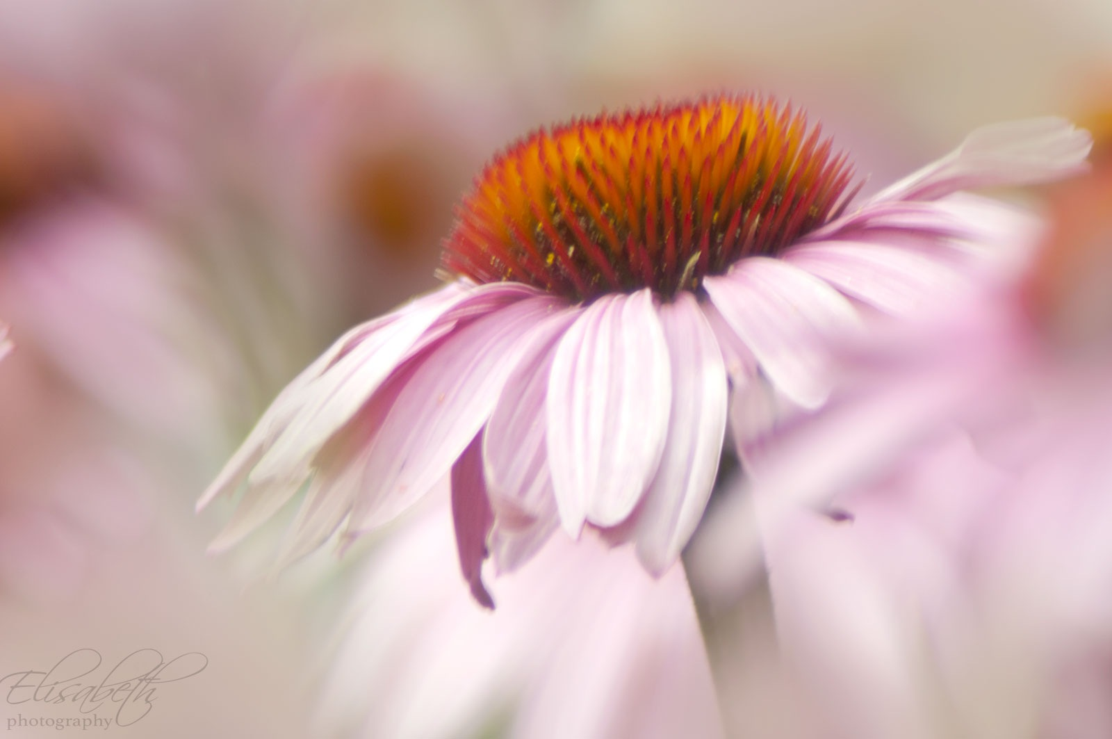 Coneflower impression by bep.roggeveen