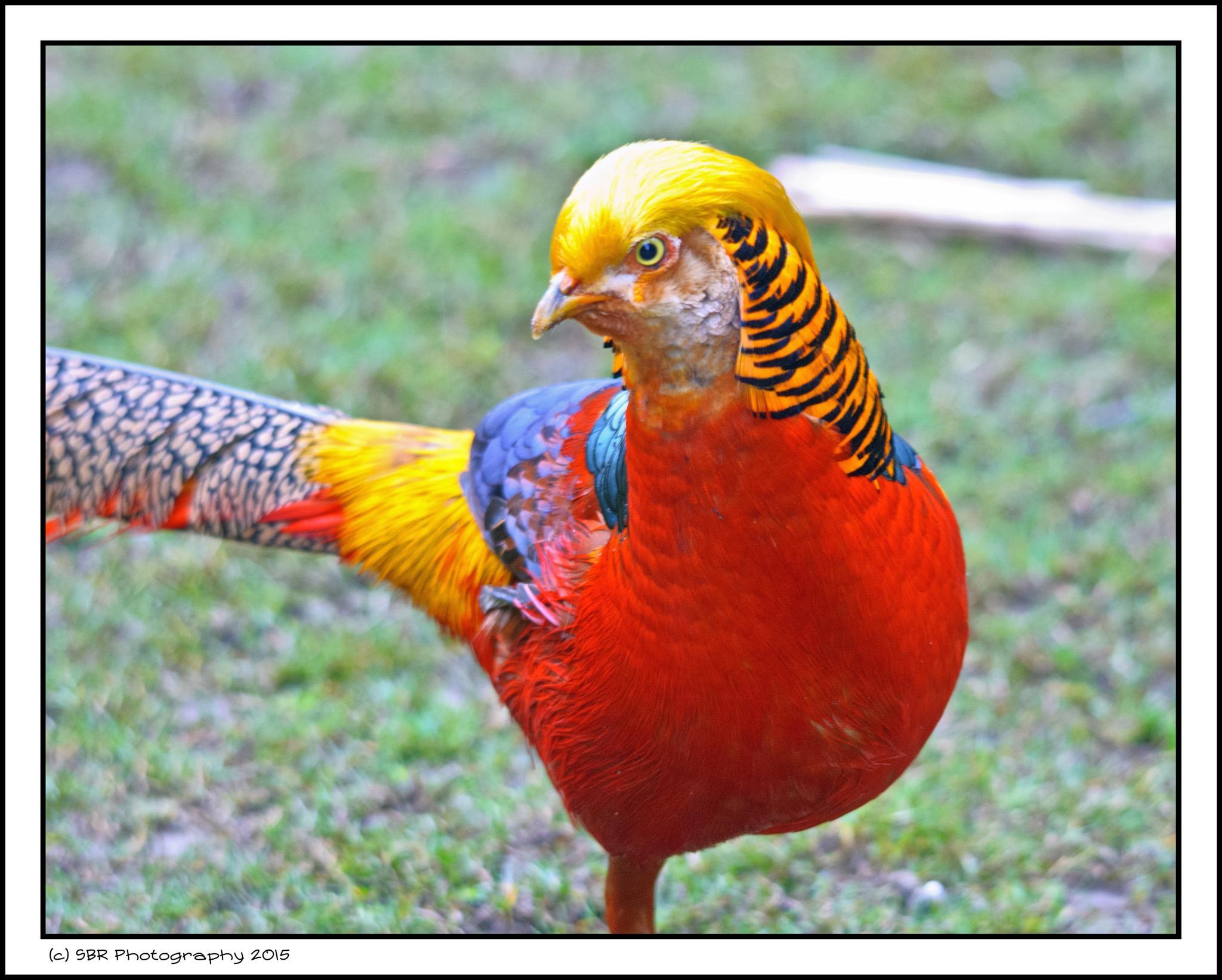Pheasant by SteveR