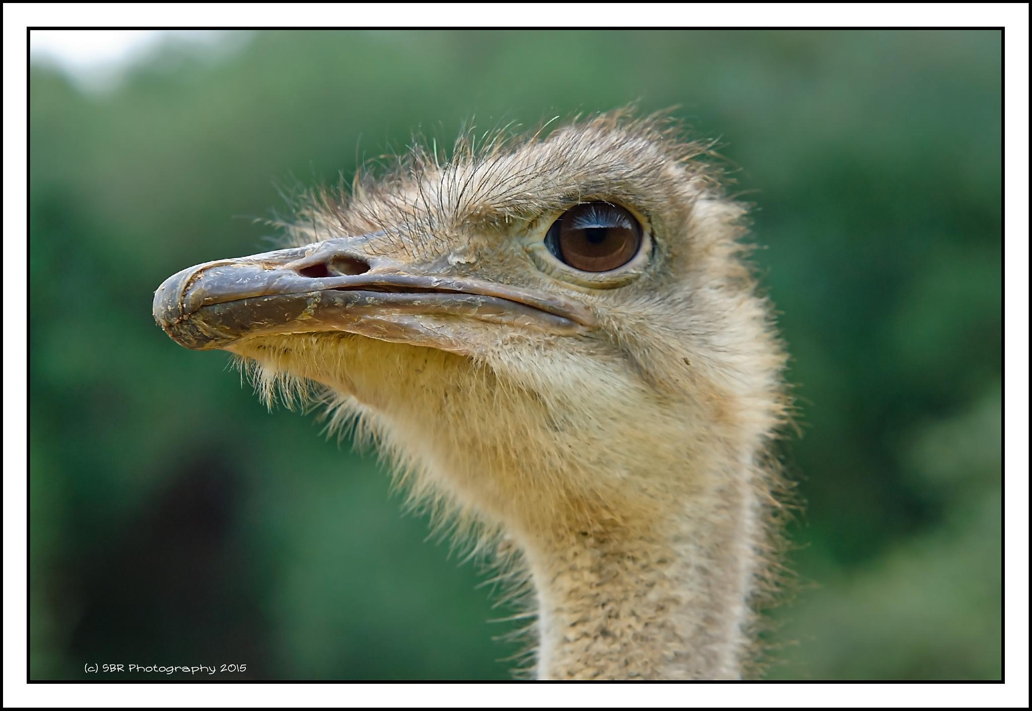 The Ostrich Stare by SteveR