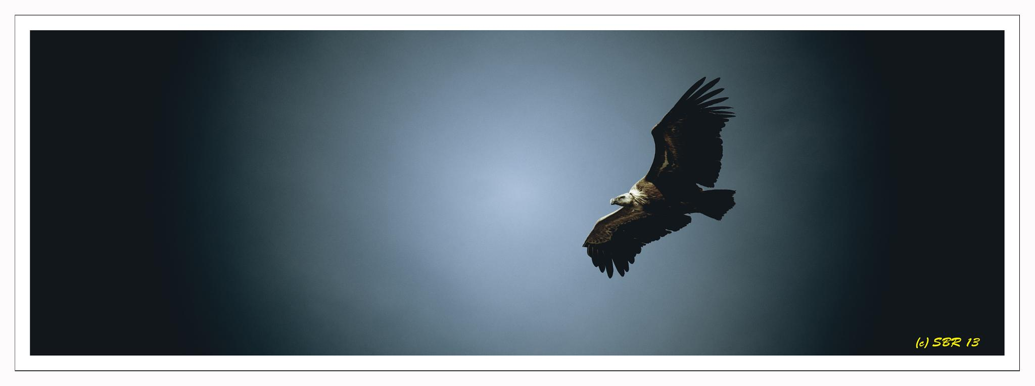 The Griffin Vulture by SteveR