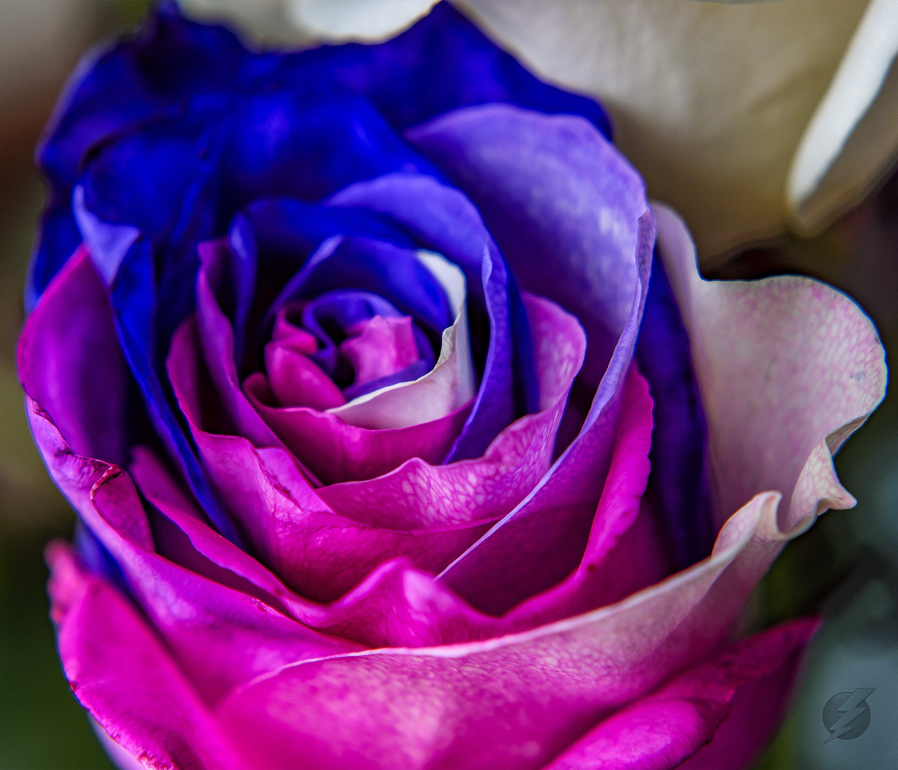 Colourful rose by FixPixPro