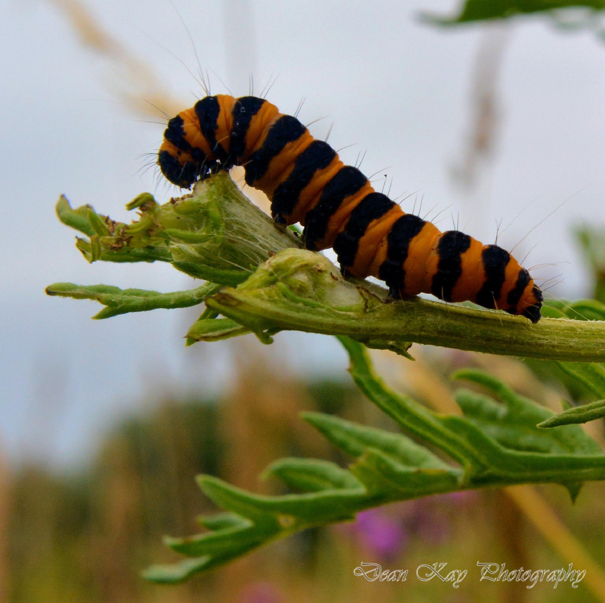 fatterpillar by Dean kay